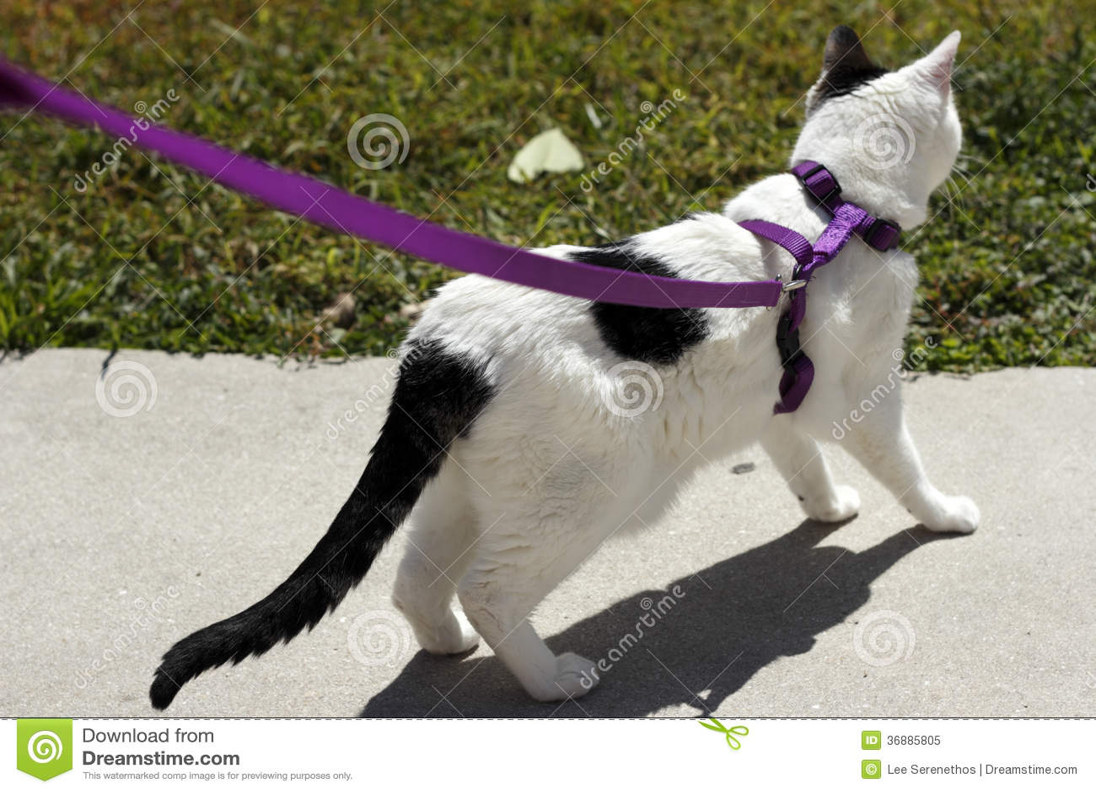 cheetoh cat breed