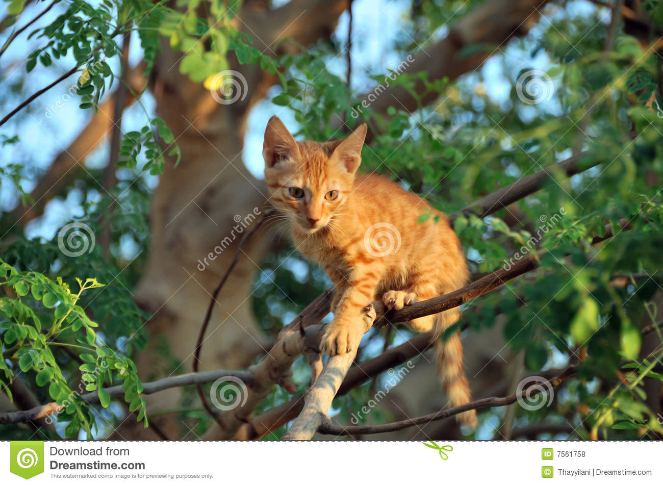 Cat Ready To Jump From Tree Royalty Free Stock Photos ... Gray And White Cat With Green Eyes