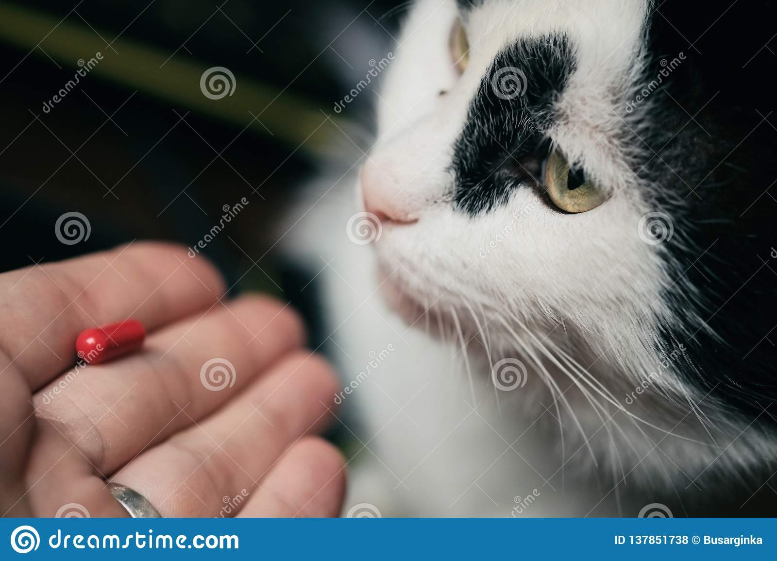 The cat receives a dose of medicine from the veterinarian. Red-haired cute clever cat is treated with pills after the