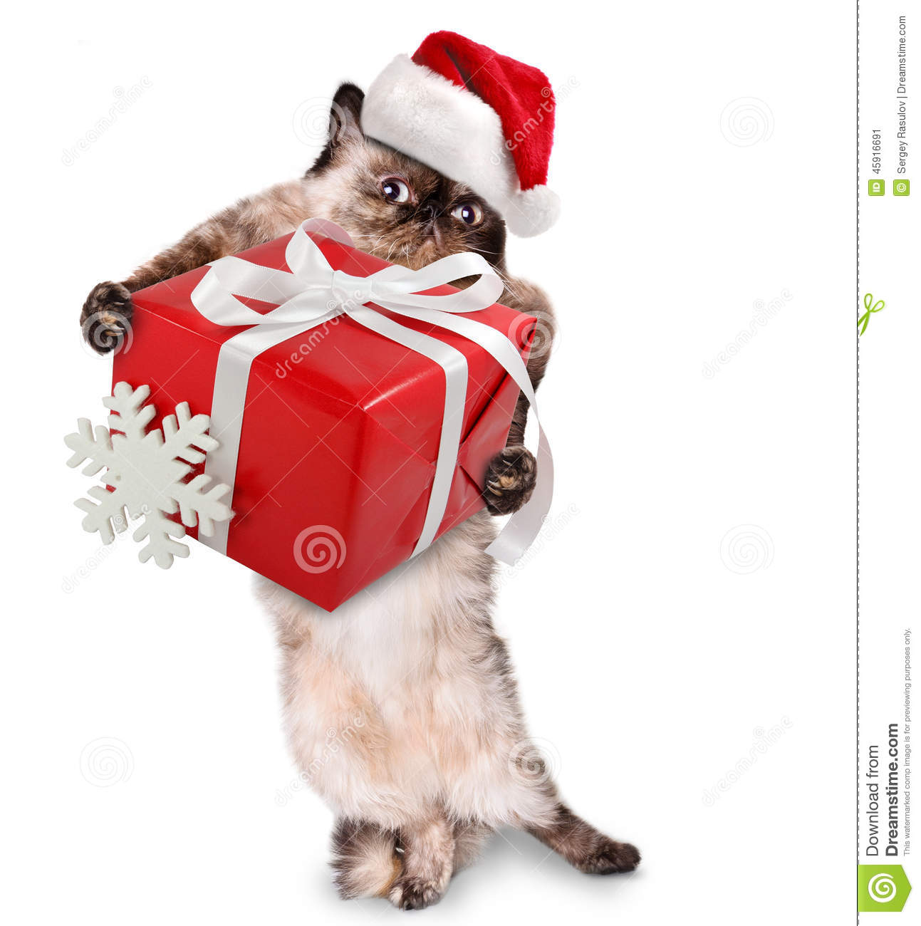 Cat in red Christmas hats with gift.