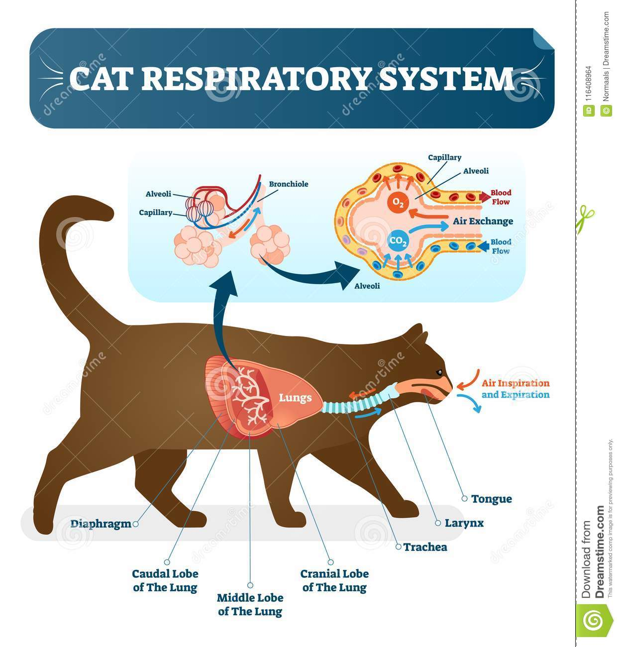 Cat Respiratory System Diagram Cat Respiratory System Diagram Wire