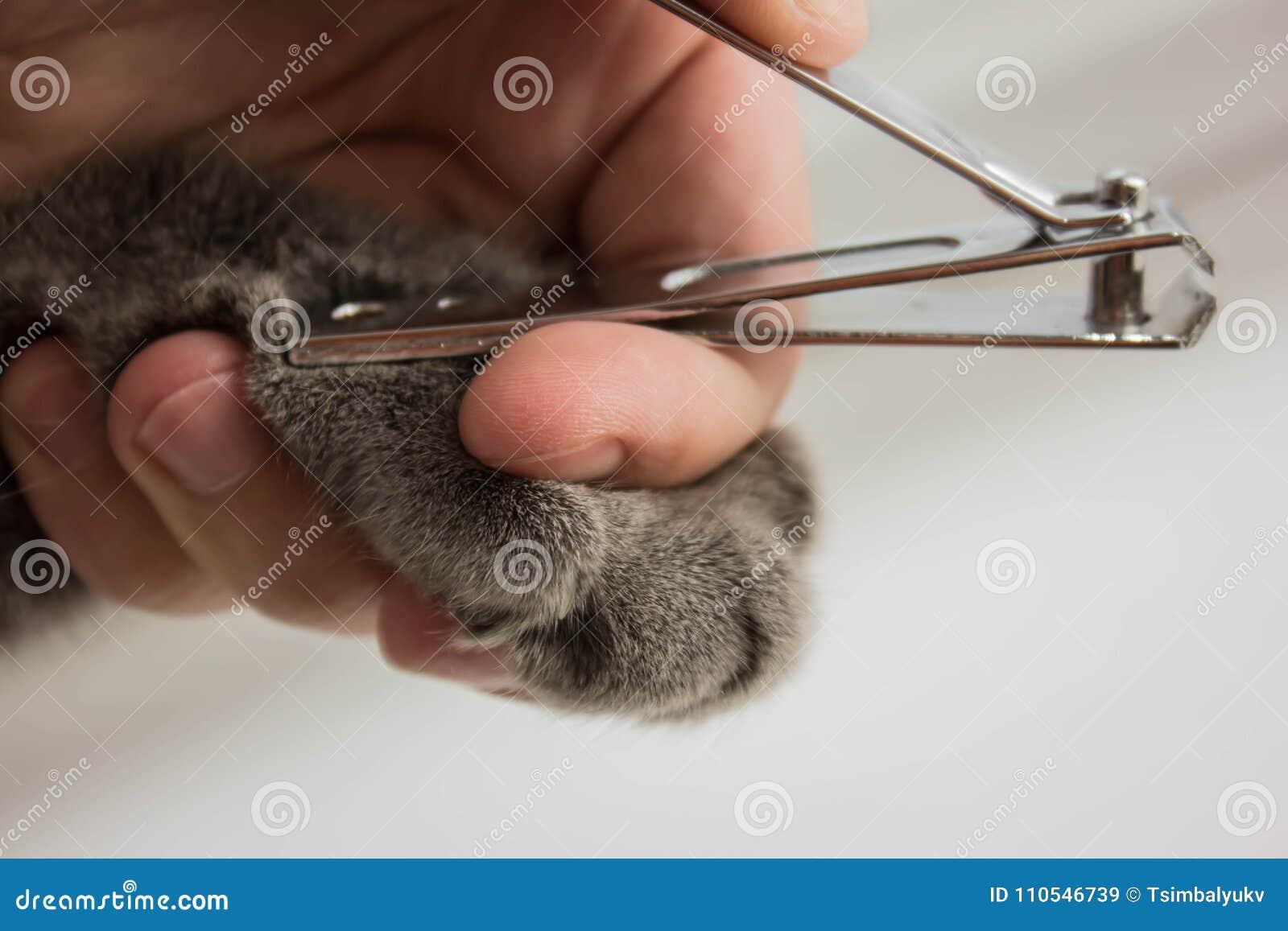 Cat& x27; s die een spijkerversiering krijgen Het in orde maken cat& x27; s spijkers