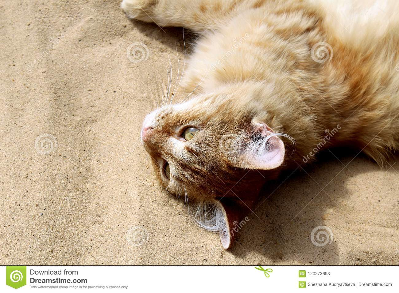 red cat lying on the sand and resting stock image image of orange