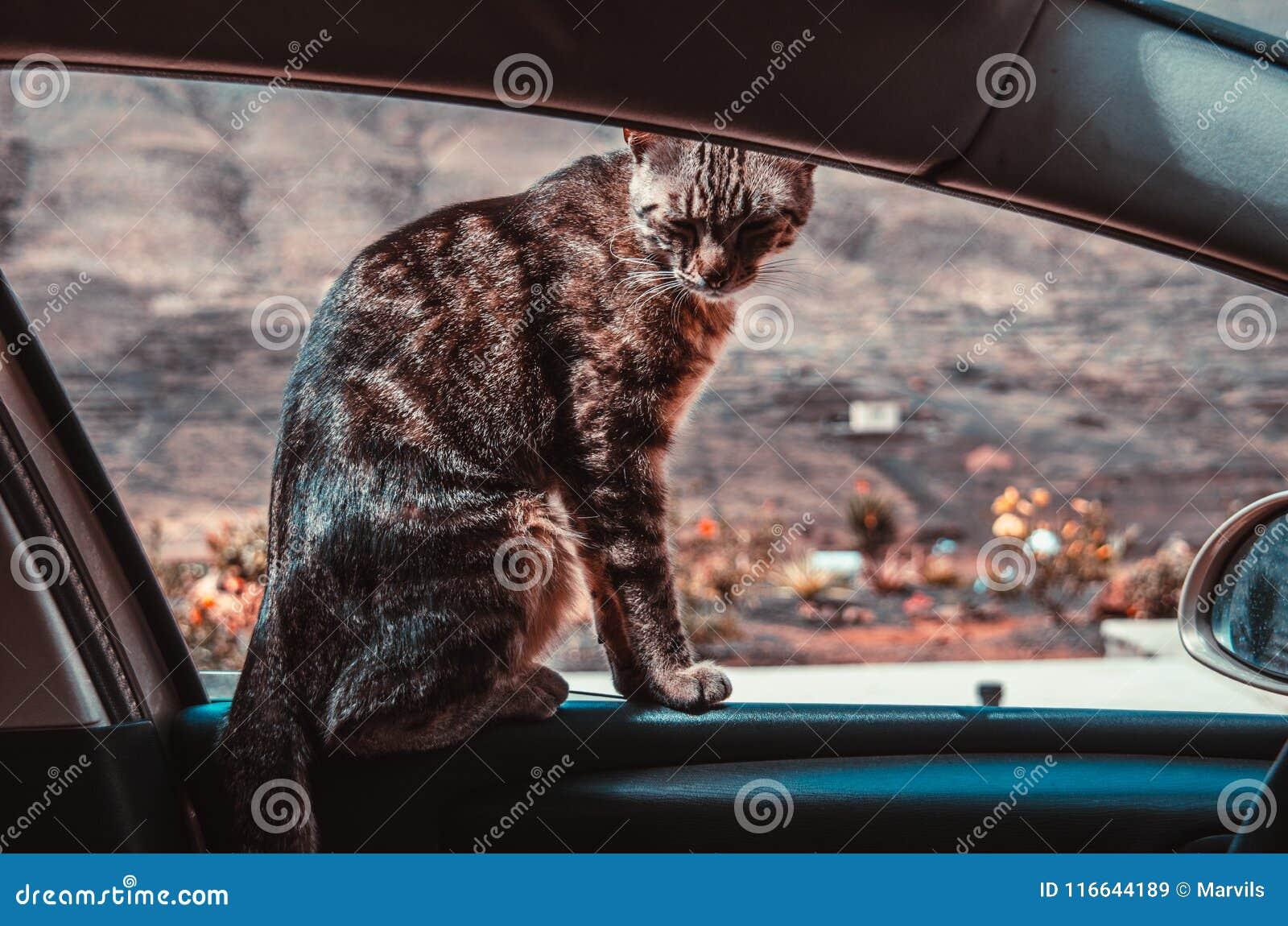 Amazing Cat Is Sitting On The Car Window Stock Image Image Of Evergreenethics Interior Chair Design Evergreenethicsorg