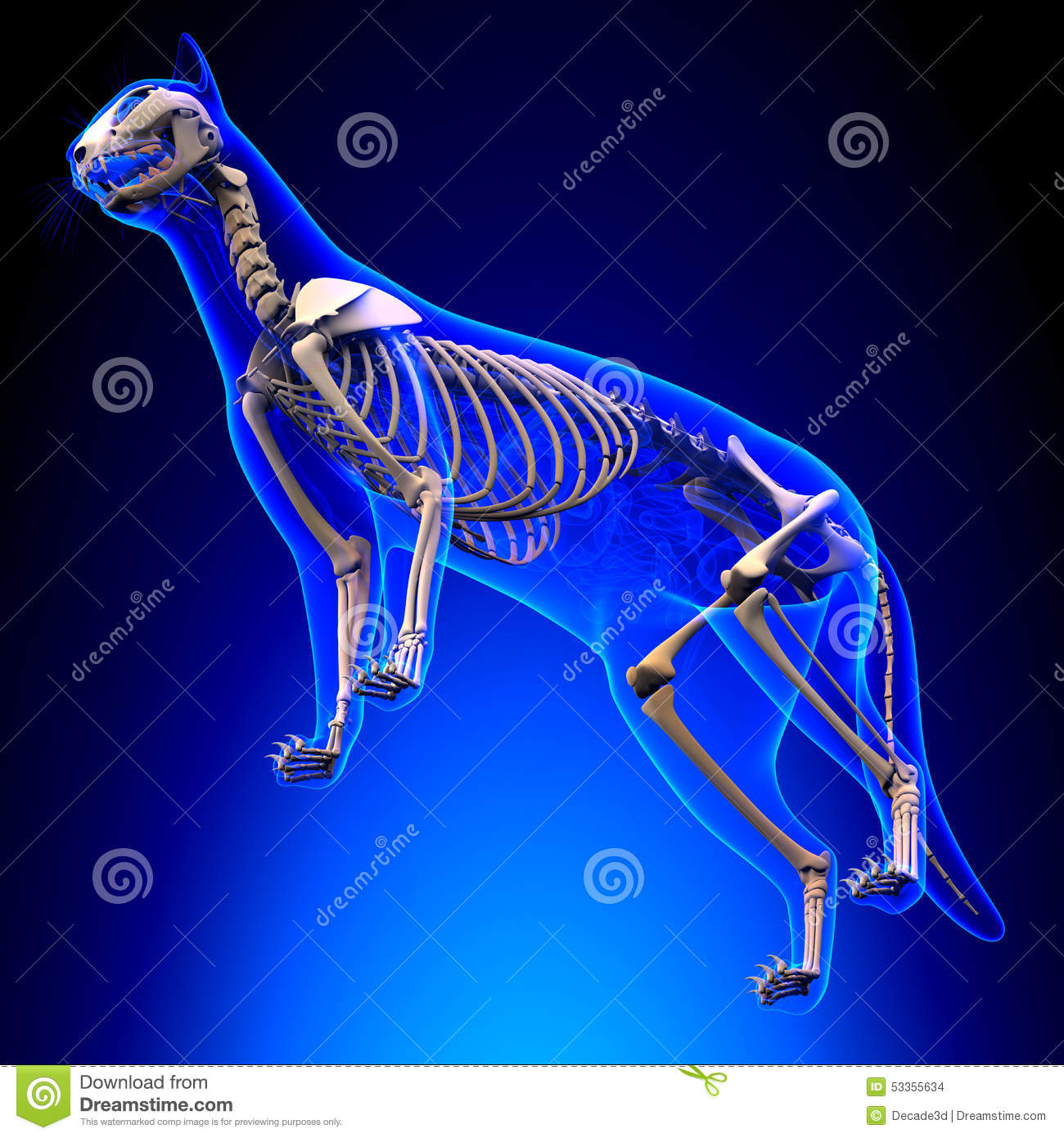 Cat Skeleton Anatomy Anatomie Von Cat Skeleton Perspektive V