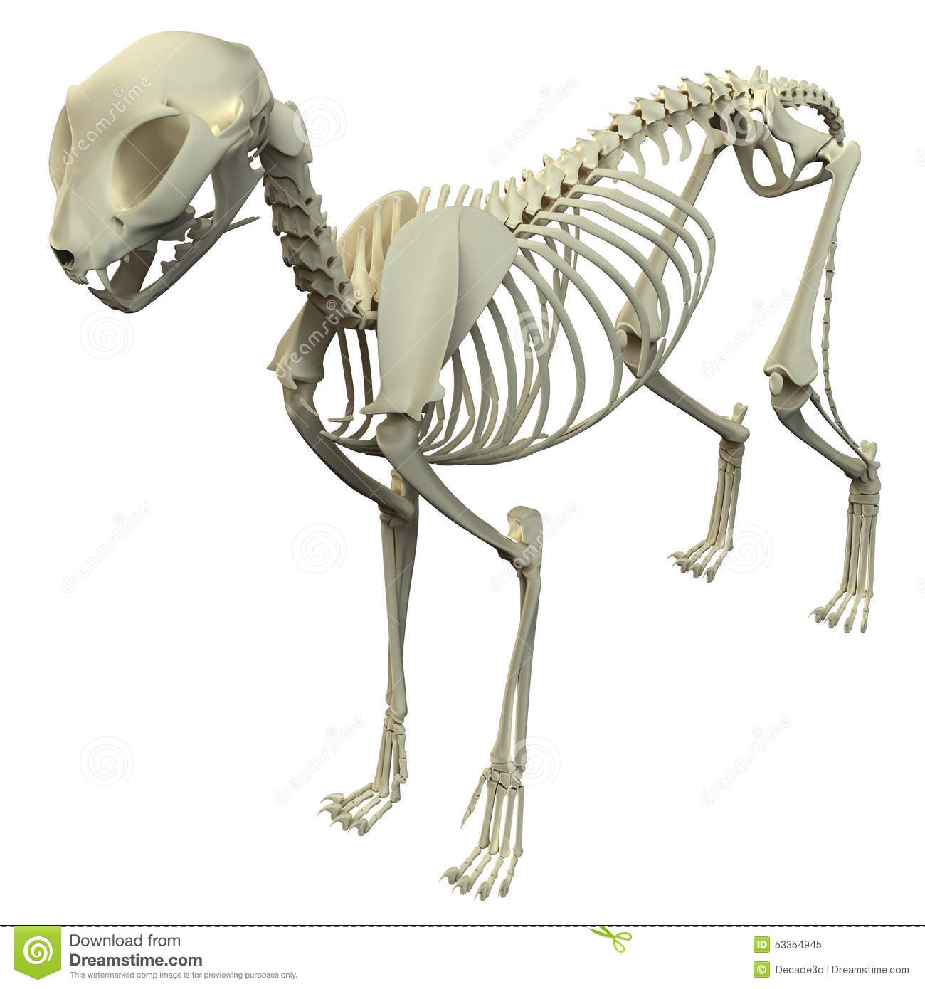 Cat Skeleton Anatomy Anatomy Of A Cat Skeleton Stockbild Bild