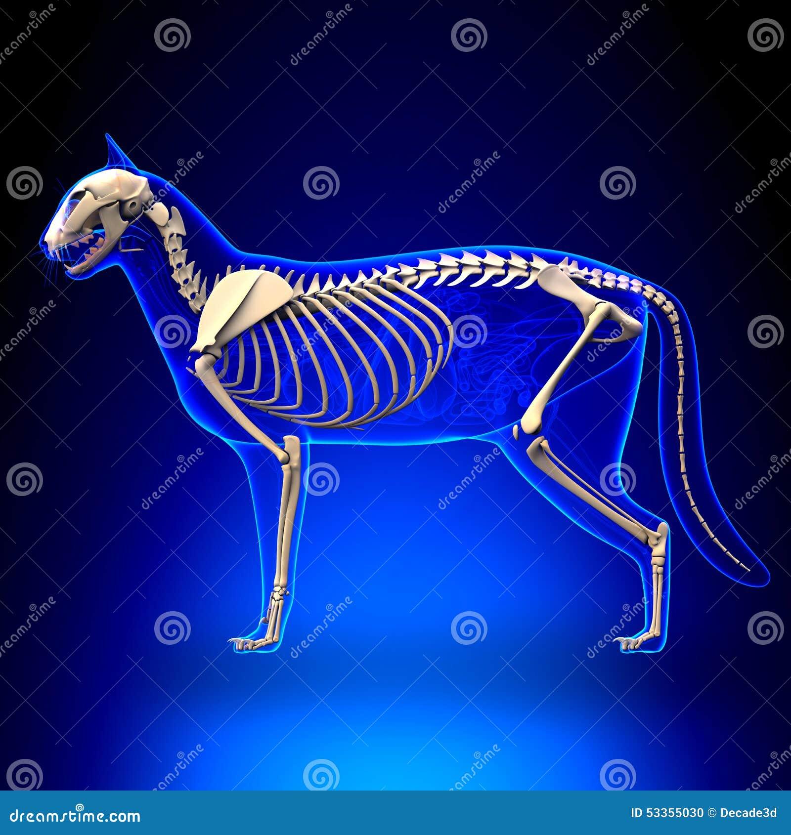 Cat Skeleton Anatomy - Anatomy Of A Cat Skeleton Stock Photo - Image ...
