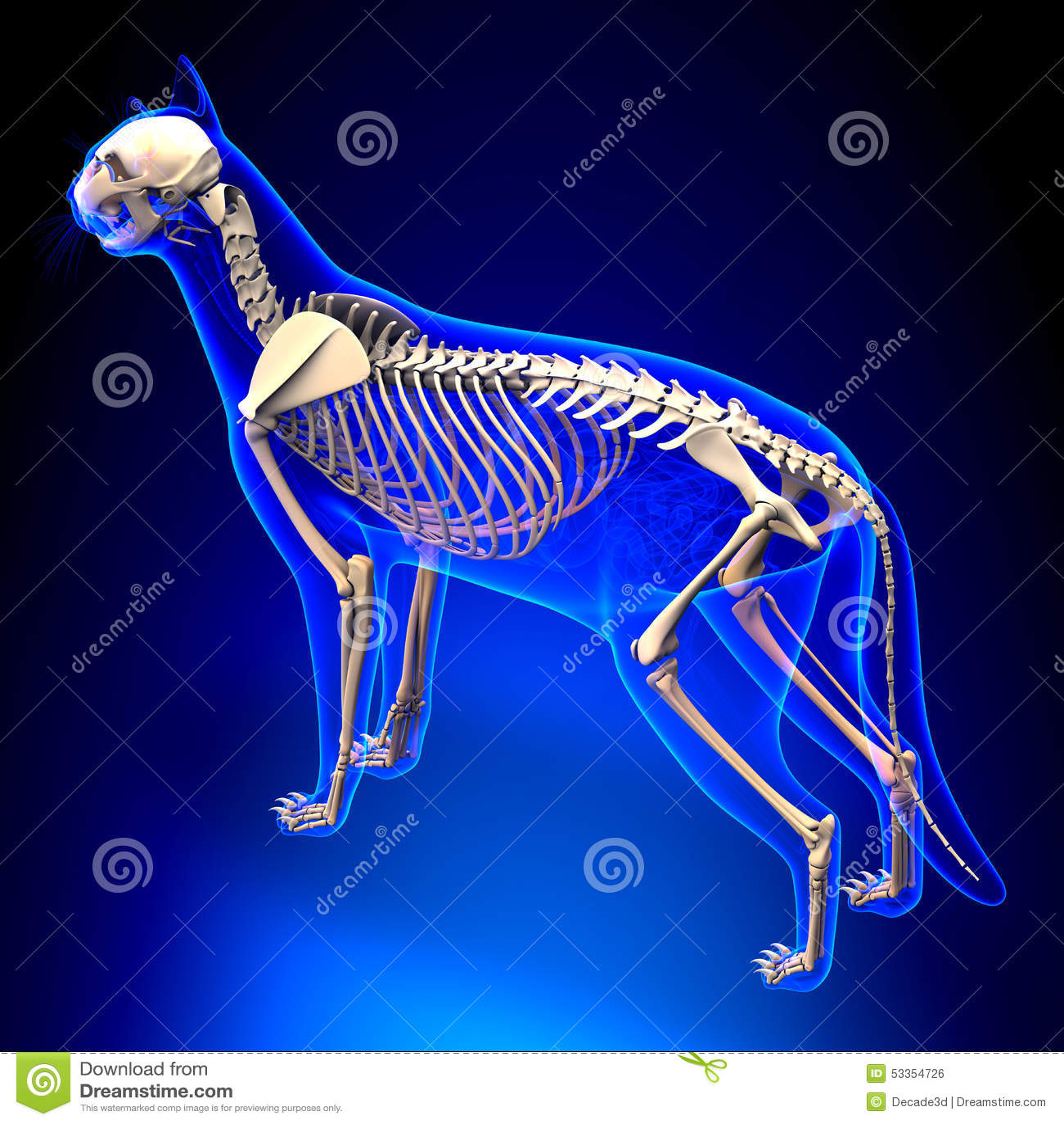 Cat Skeleton Anatomy - Anatomy Of A Cat Skeleton - Perspective V ...