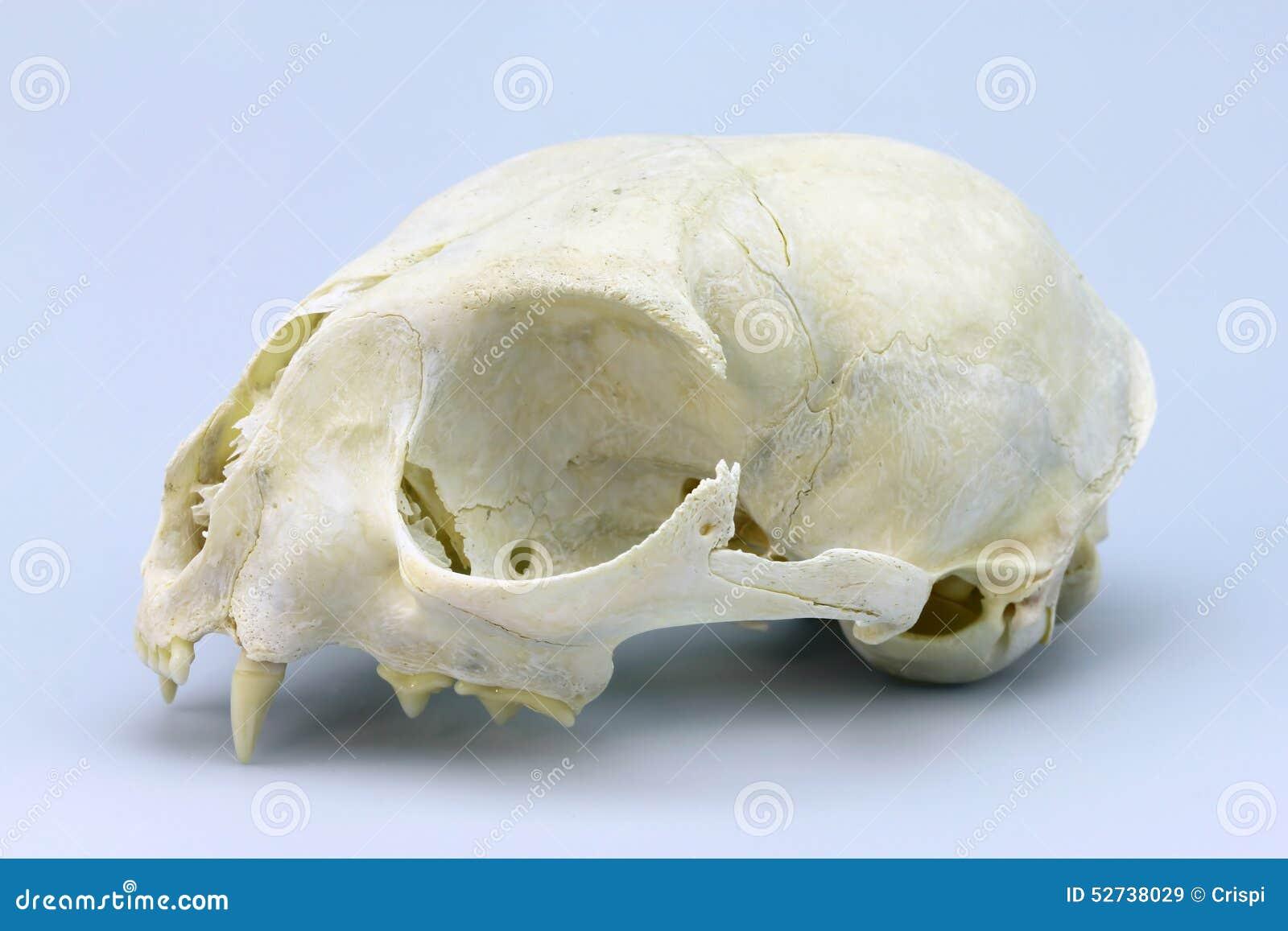 Cat Skull Stock Image Image Of Skeleton Brain Anatomy 52738029
