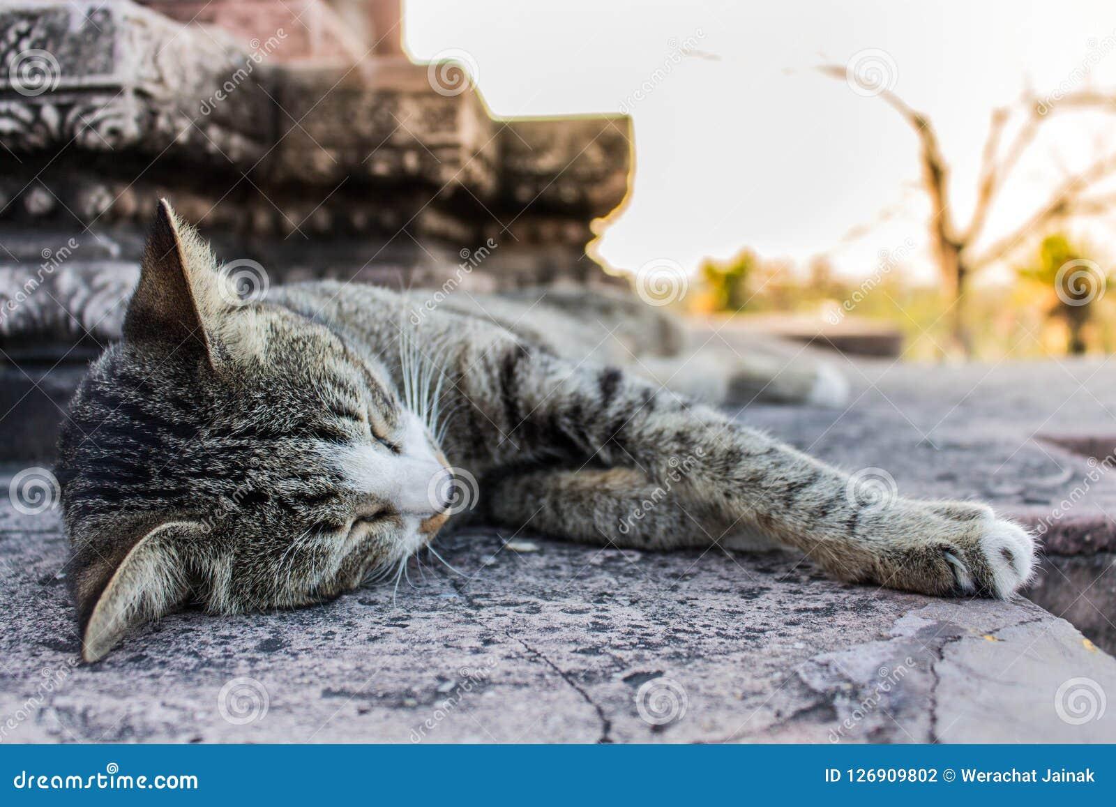 Cat Sleeping dans le temple