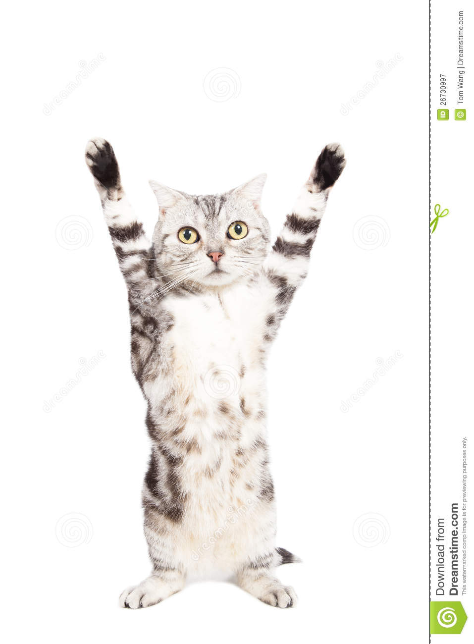 Cat Are Standing And Rising Hand Royalty Free Stock