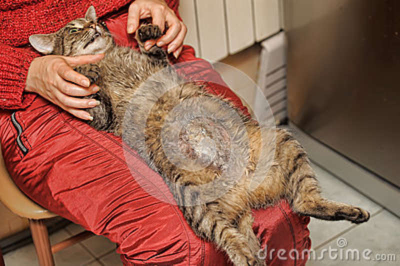 Cat after surgery for sterilization