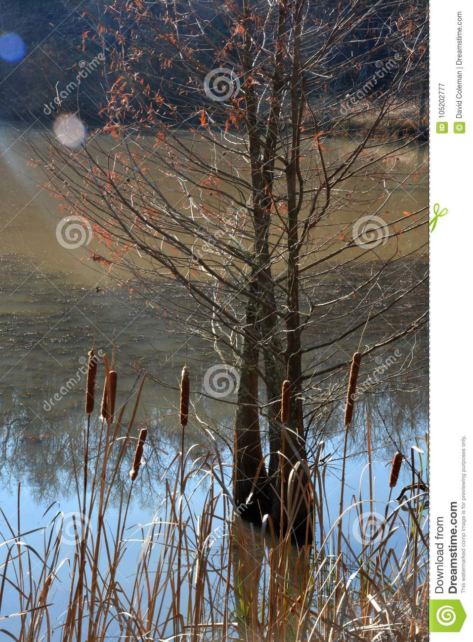 Cat tails and a hemlock tree