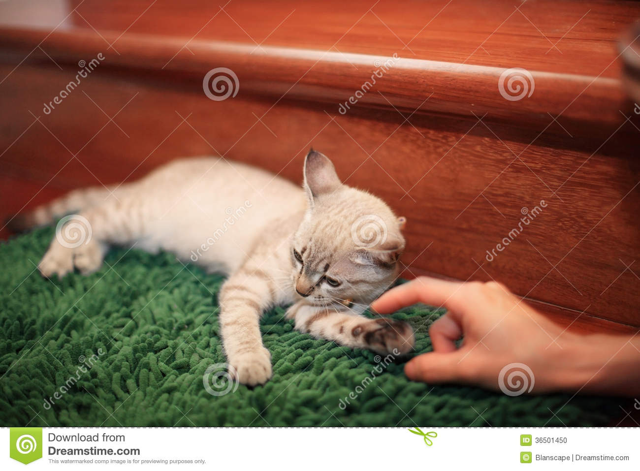 Cat teasted by human fingers