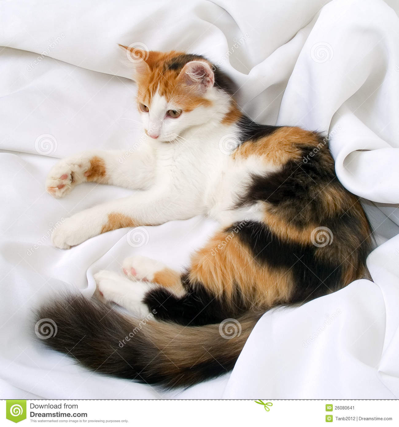 Cat Tricolor Stock Image Image 26080641