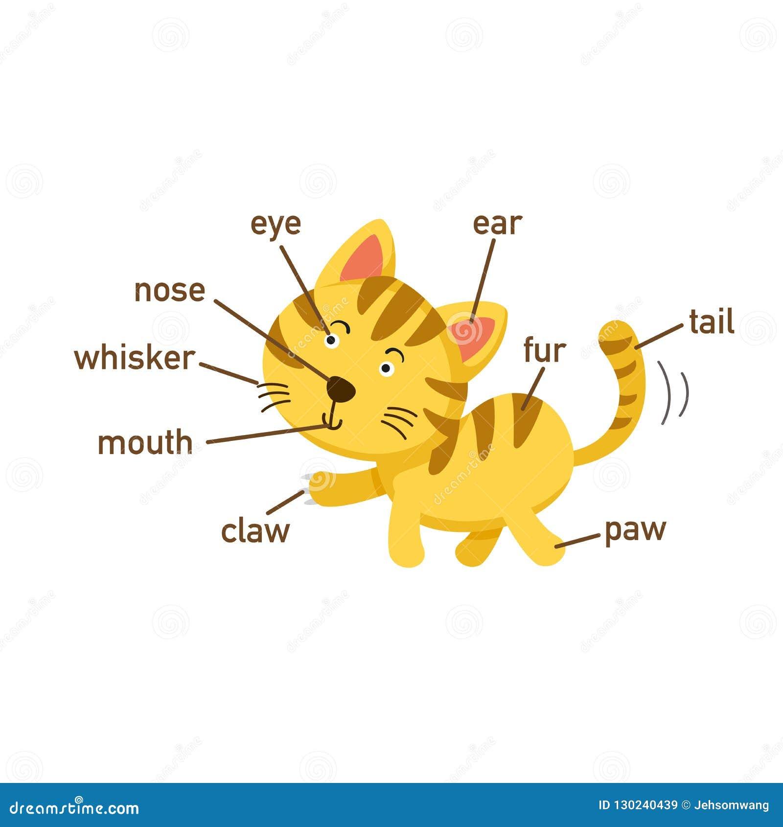 Cat Vocabulary Part Body Stock Illustrations  U2013 9 Cat