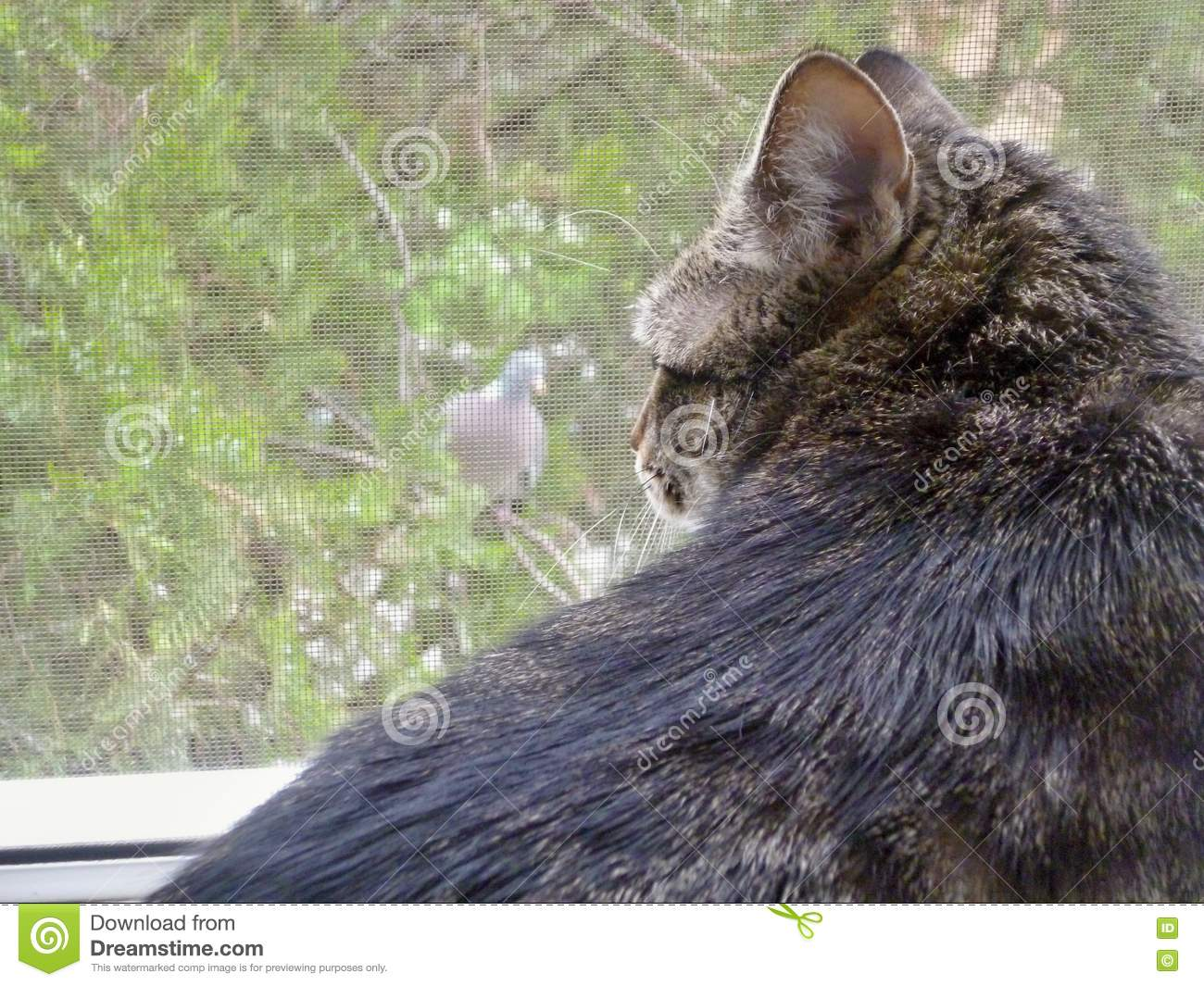 Download Cat vs. pigeon stock photo. Image of versus, pigeon, which - 70901602