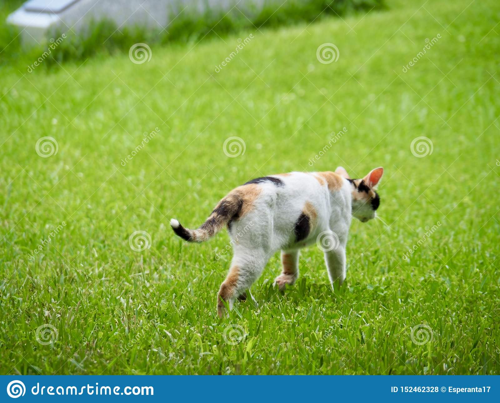 Cat Walking on Green Grass