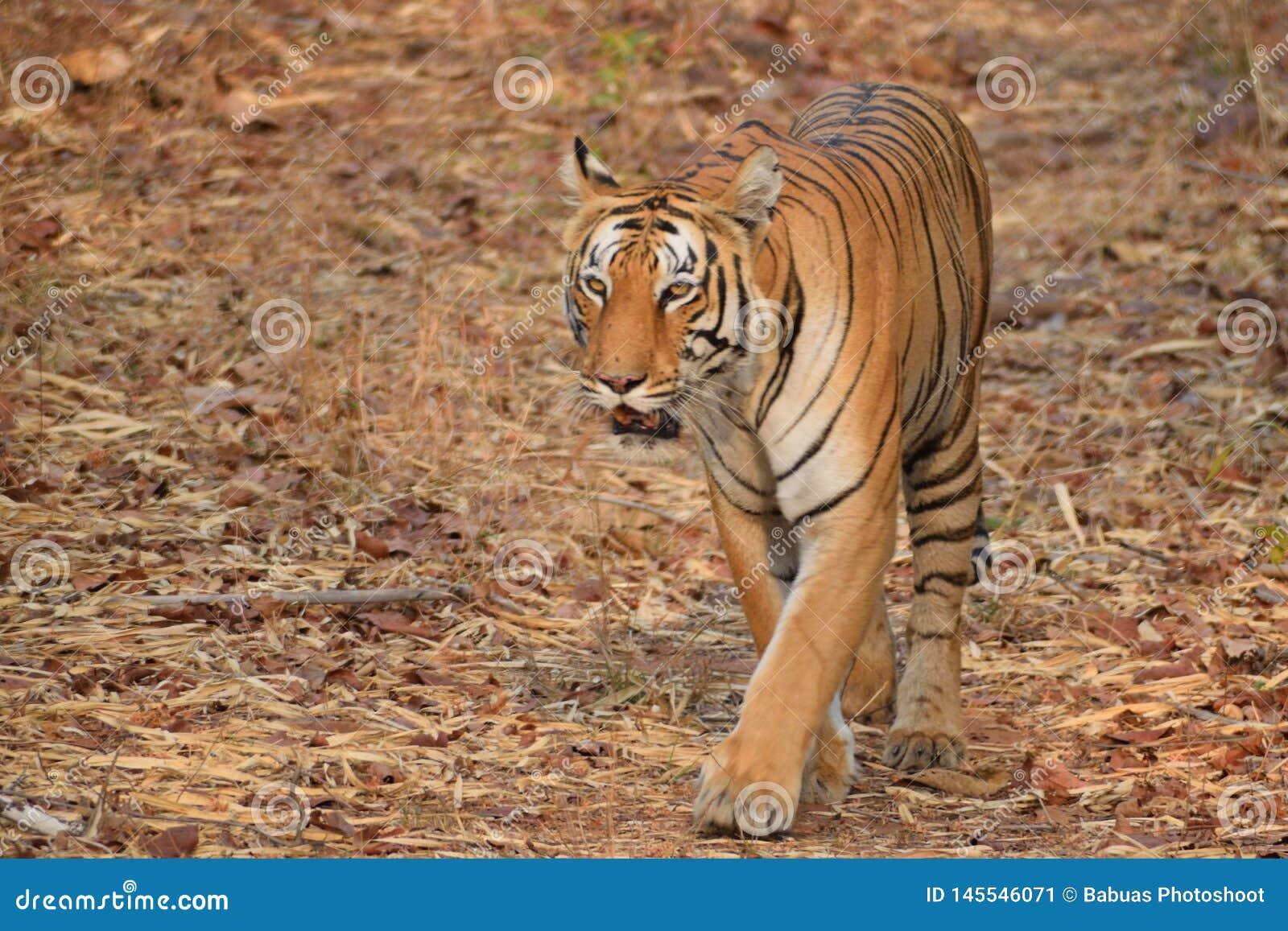 Cat walking Royal Bengal Tiger at Tadoba tiger reserve, India