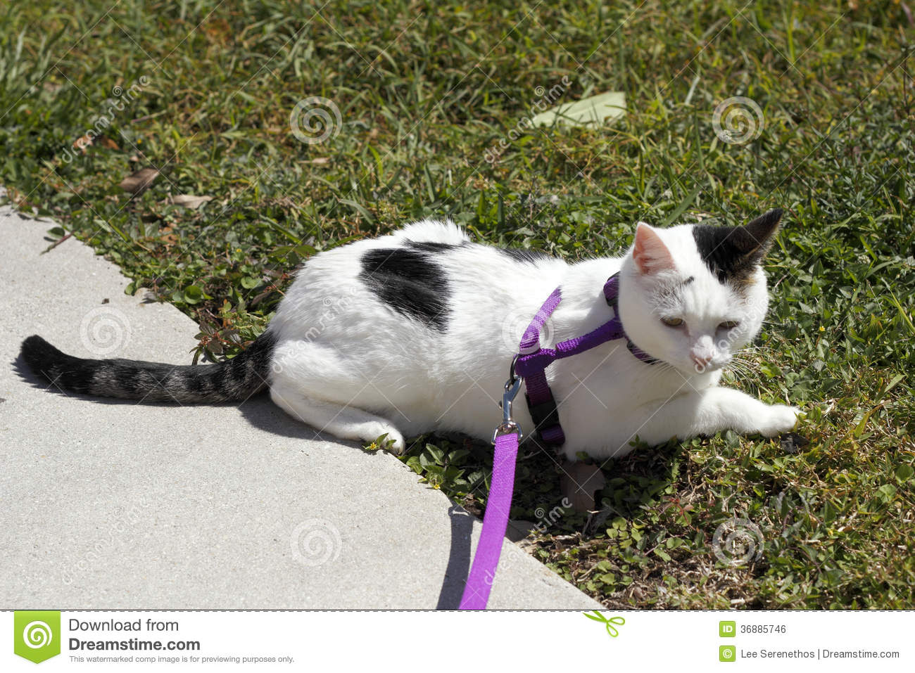 Cat ing a Harness stock photo. Image of animal, hair - 36885746