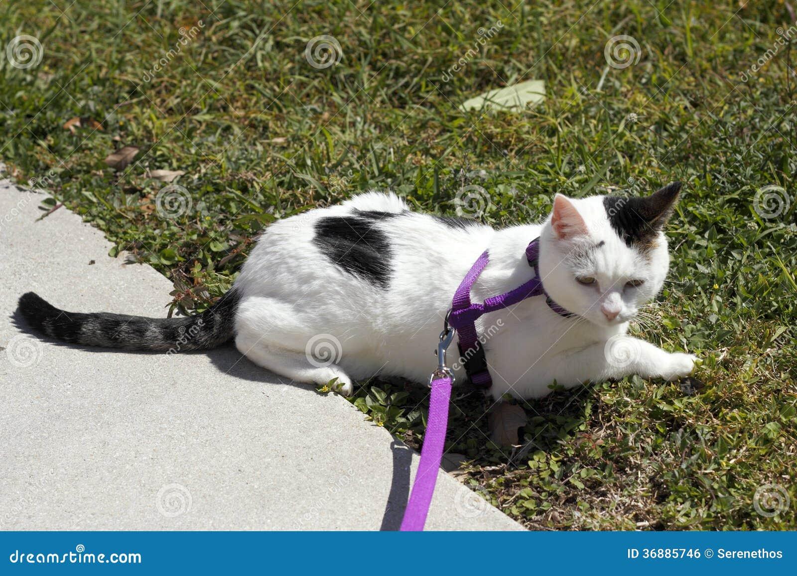 Download Cat Wearing un cablaggio fotografia stock. Immagine di animale - 36885746