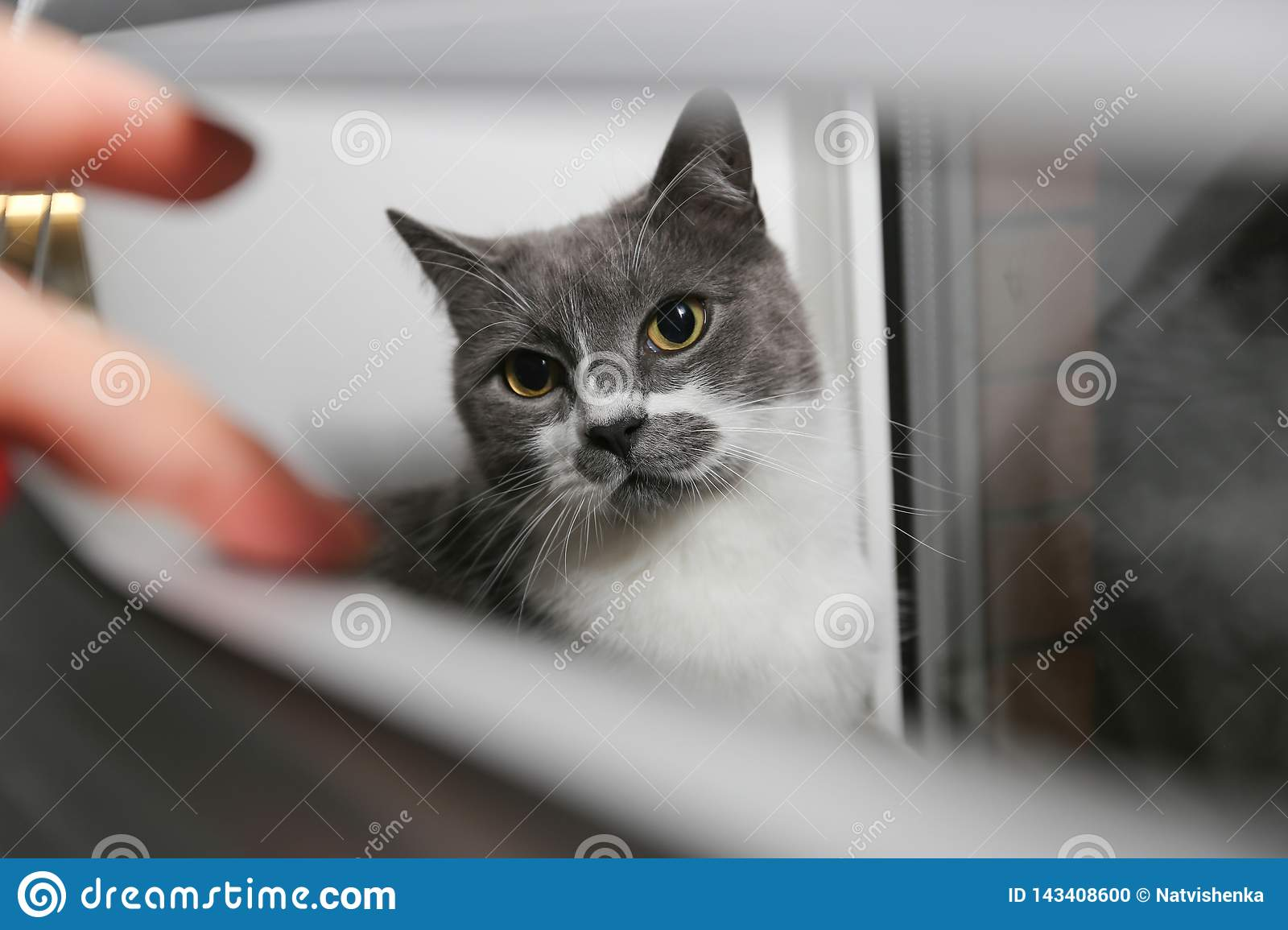 The Cat On The Window Is Hiding In The Blinds Cat In Conclusion Looks At His Own Life Stock Photo Image Of Exotic Eyes 143408600