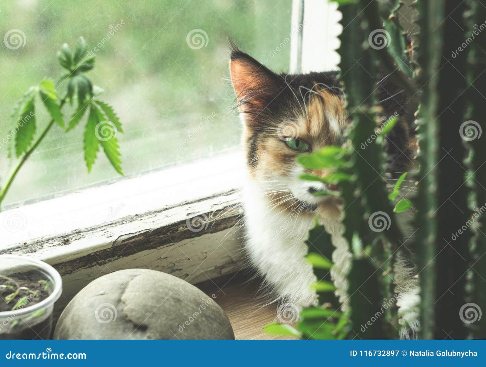 Cat on windowsill, hemp plant and cactus