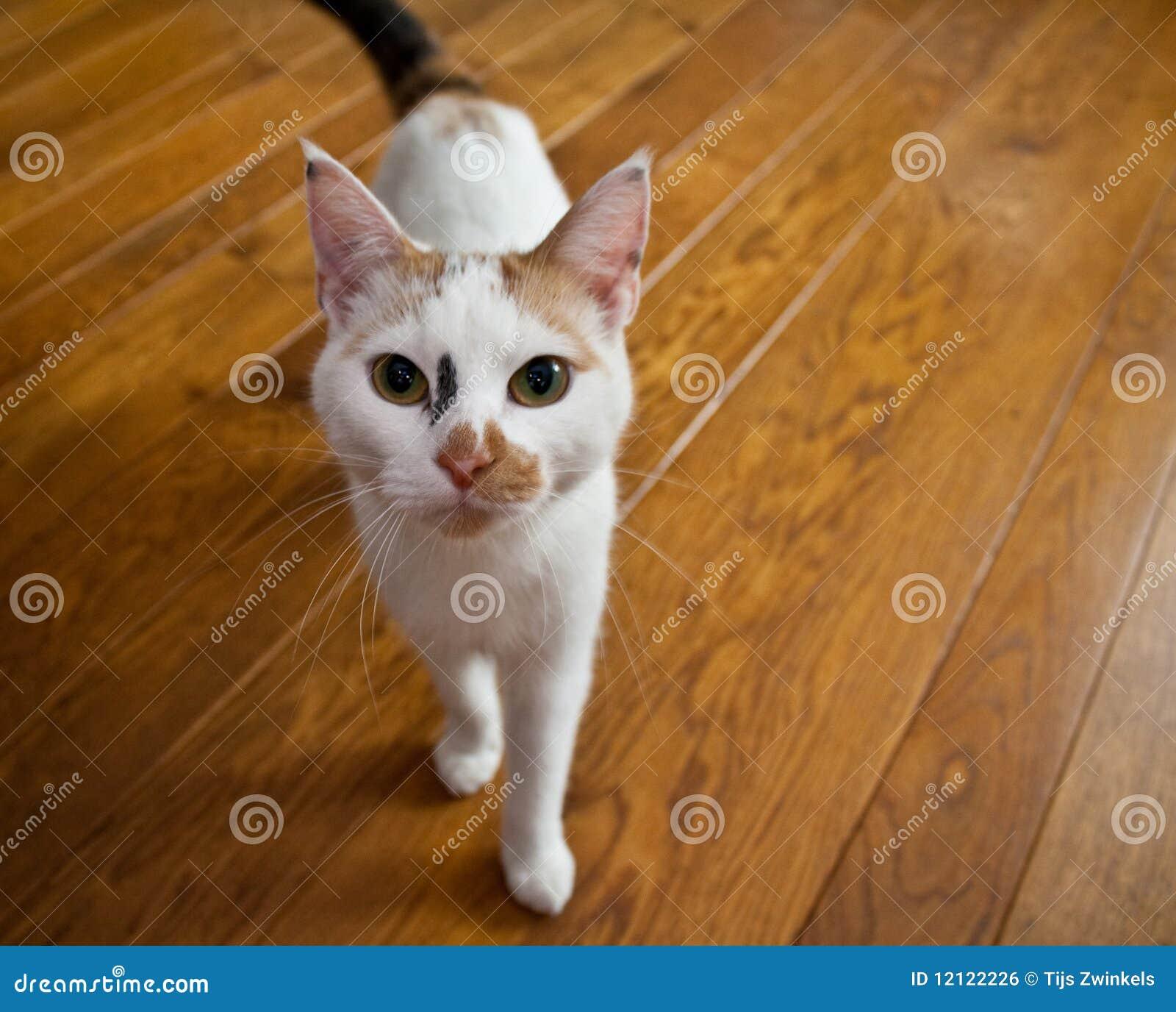 Cat on Wooden Floor stock photo. Image of eyes, depth ...