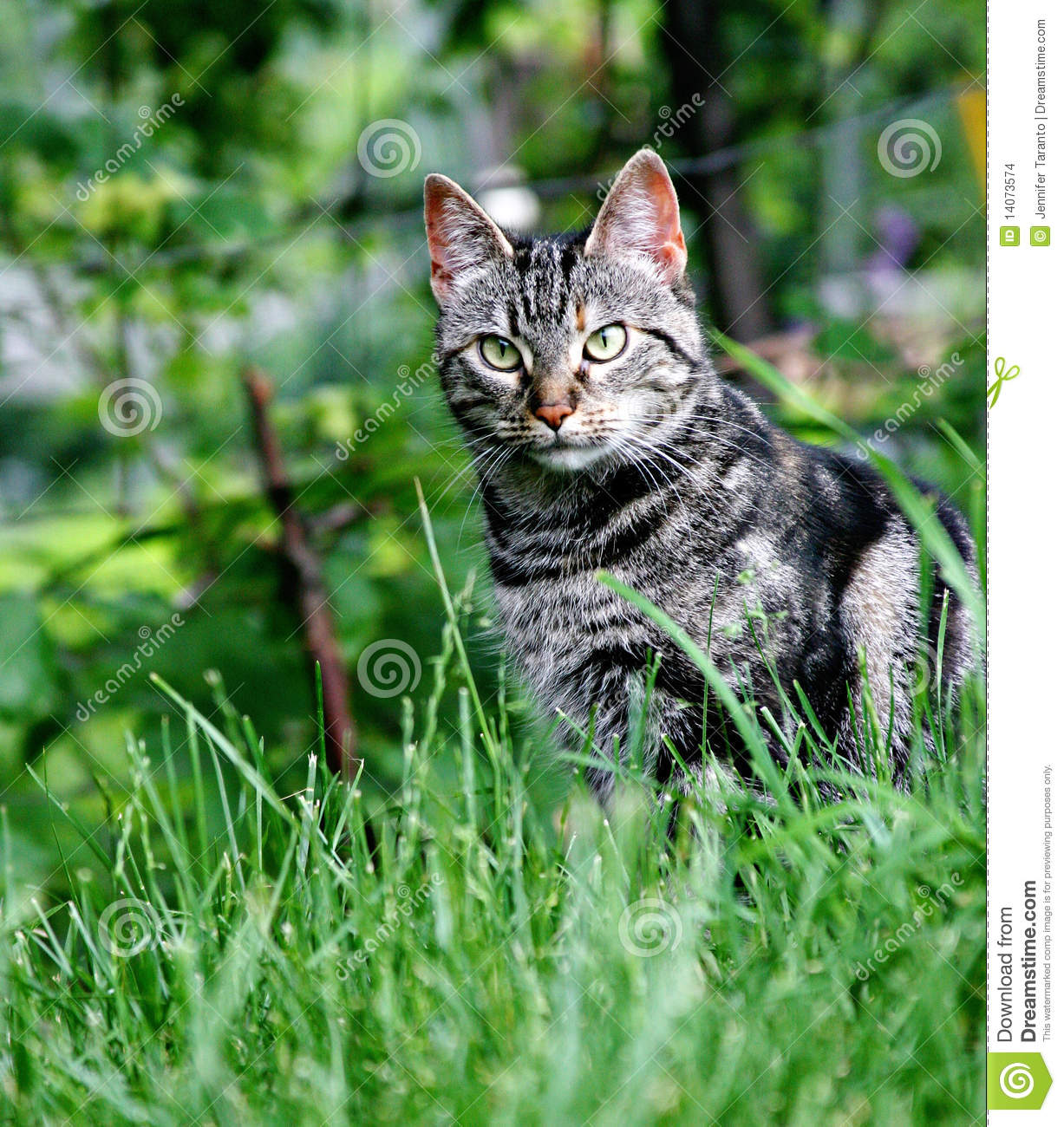 Cat In A Yard Stock Photo. Image Of Kitty, Outside, Grass