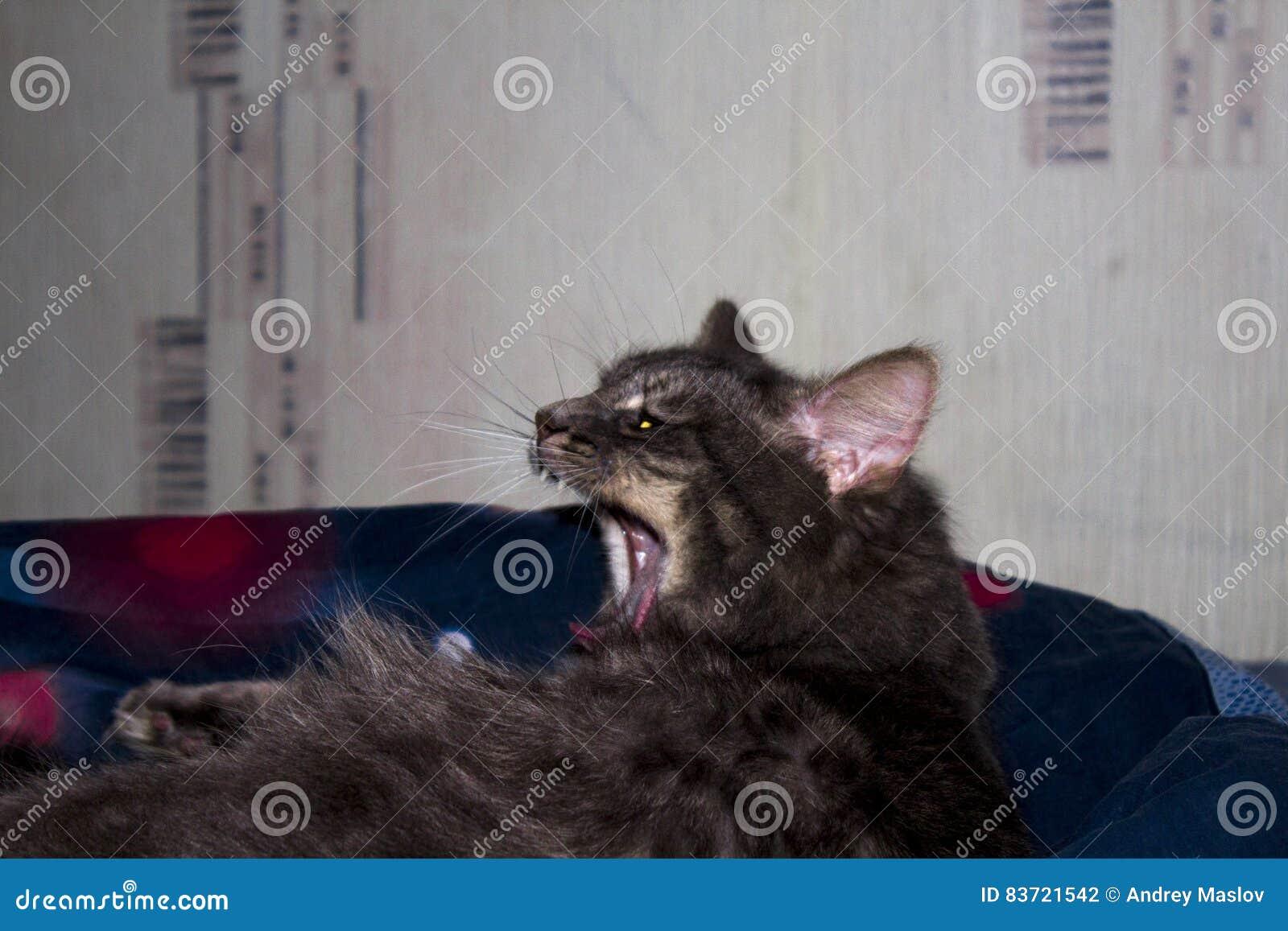 Cat Yawning Stock Photo