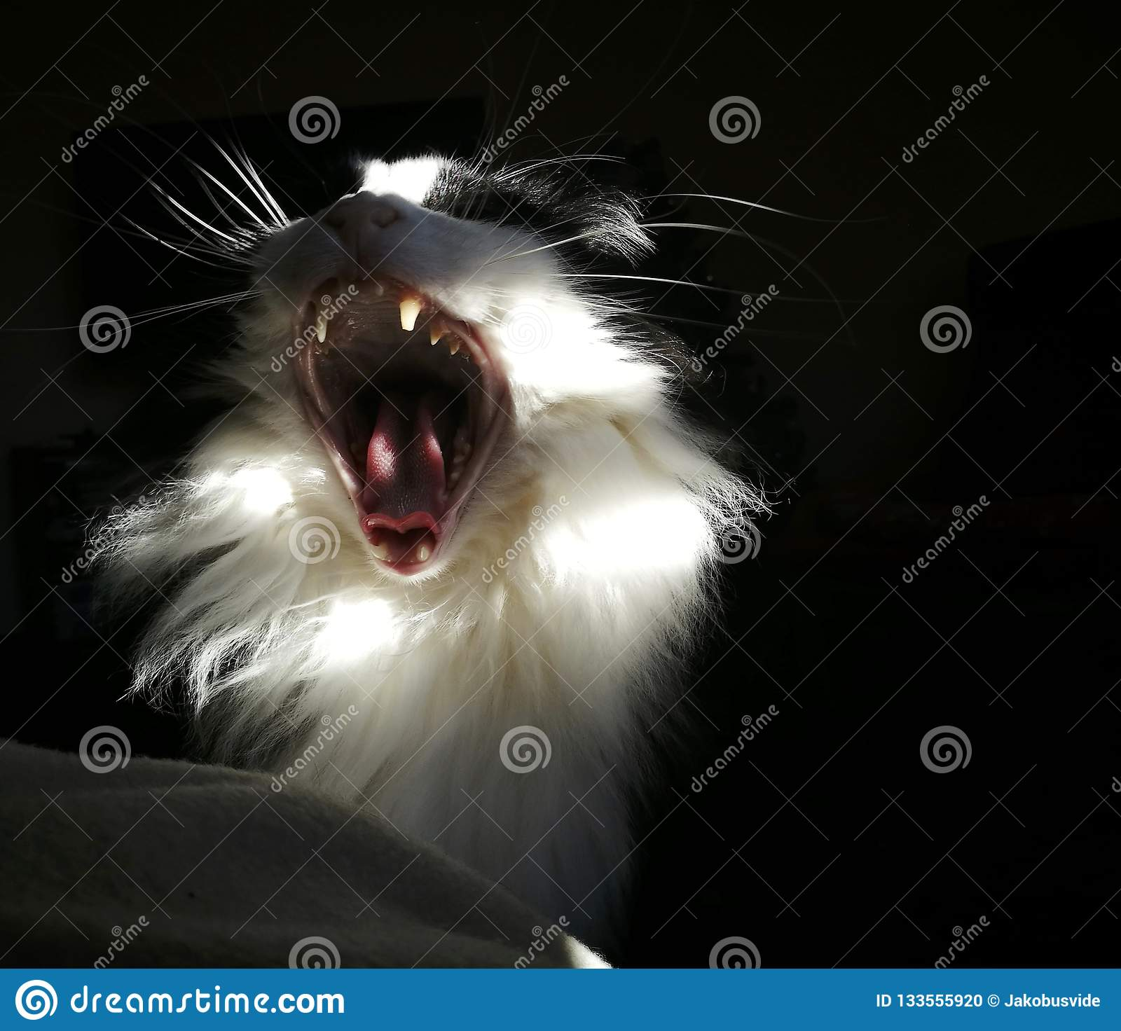The cat is yawning, or is it roaring?