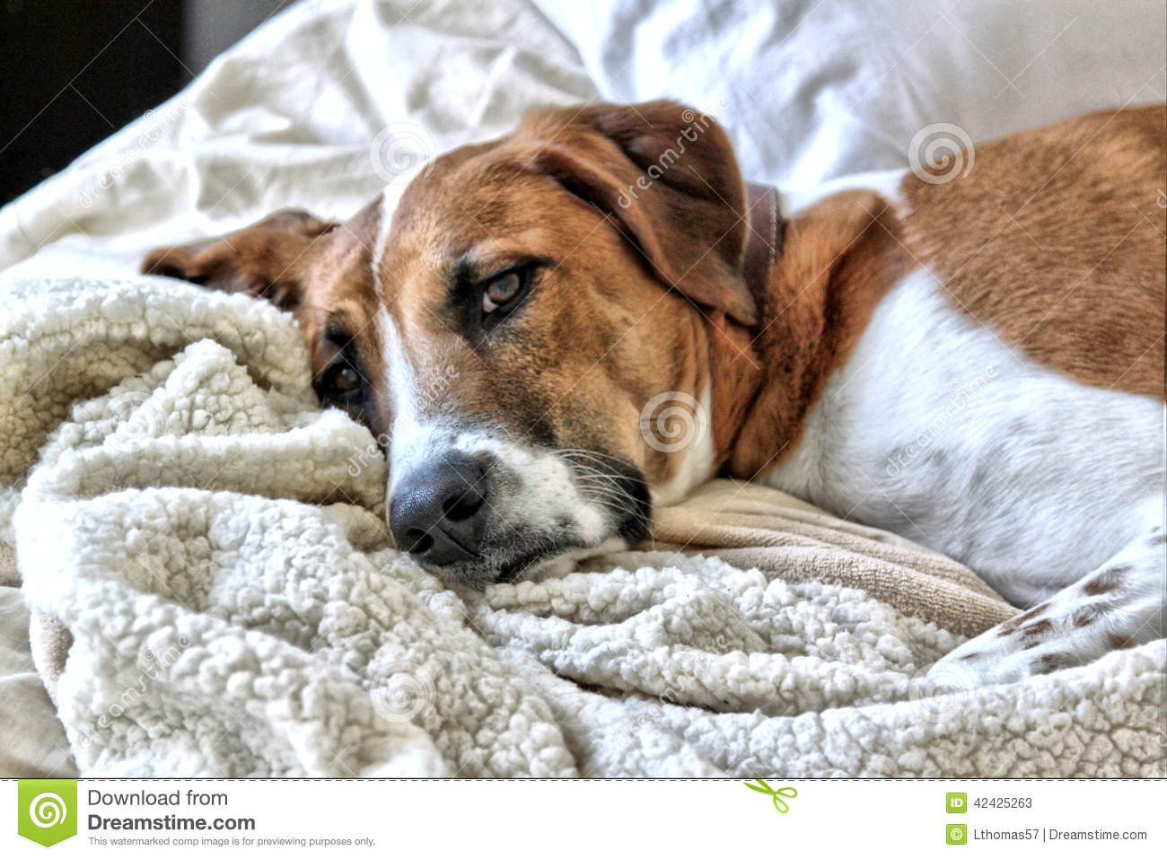 Catahoula Leopard Dog Rests On The Bed Stock Image - Image