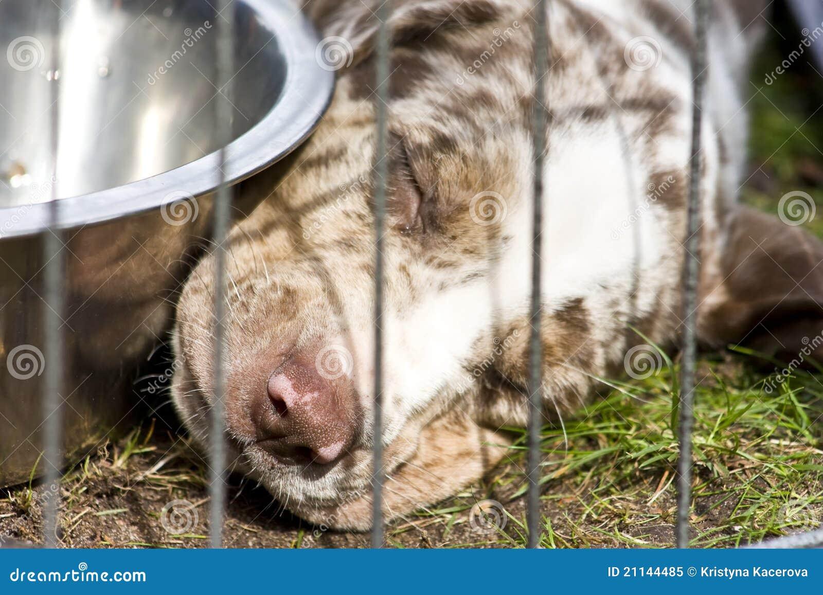 Catahoula Puppy Royalty Free Stock Photo - Image: 21144485