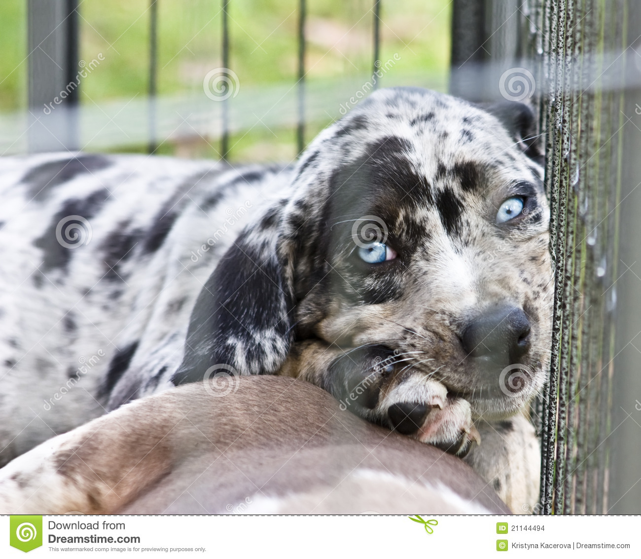 Catahoula Puppy With Blue Eyes Stock Images - Image: 21144494