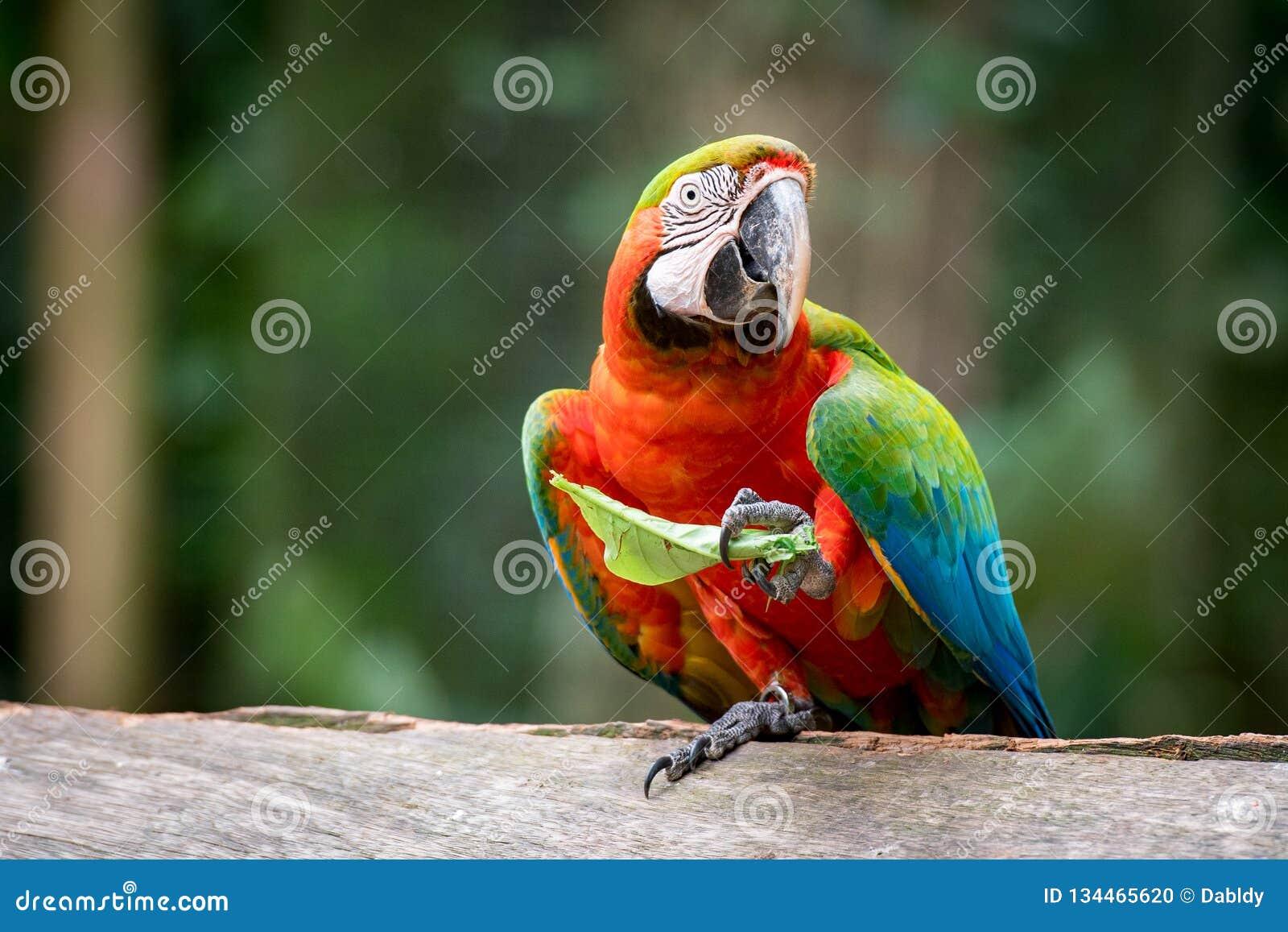 Catalina Macaw Eating Leaf