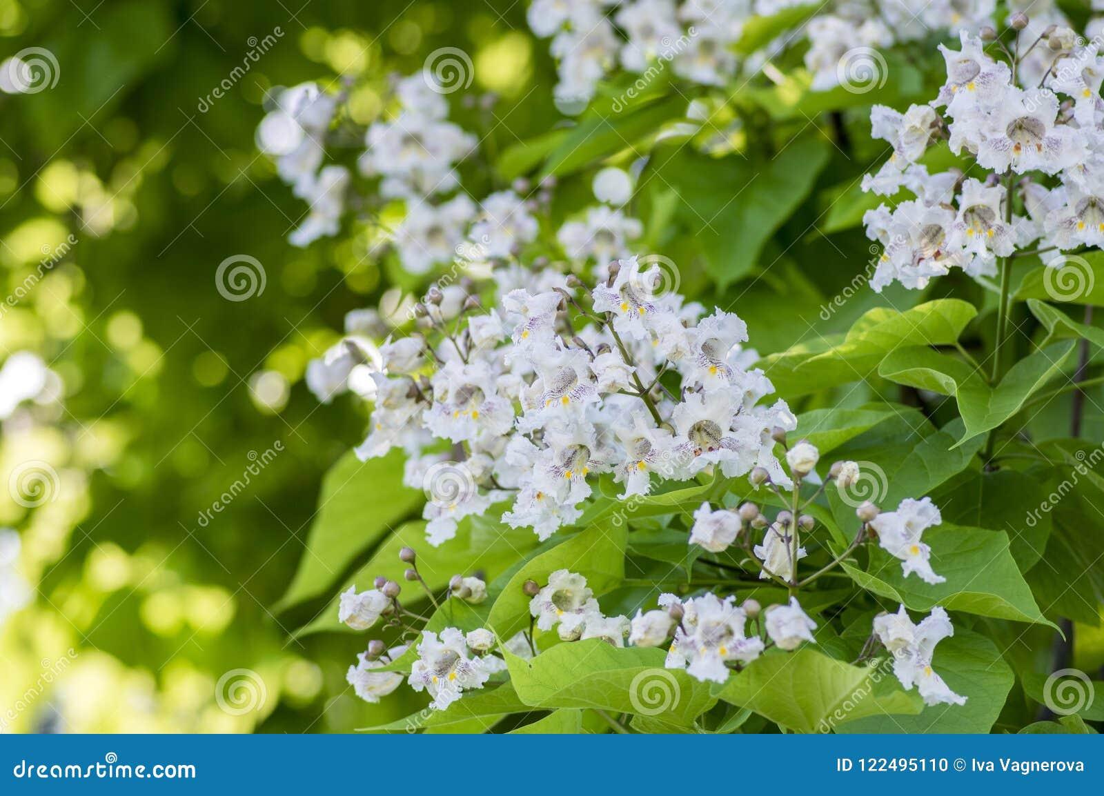 Catalpa Bignonioides Medium Sized Deciduous Ornamental Flowering