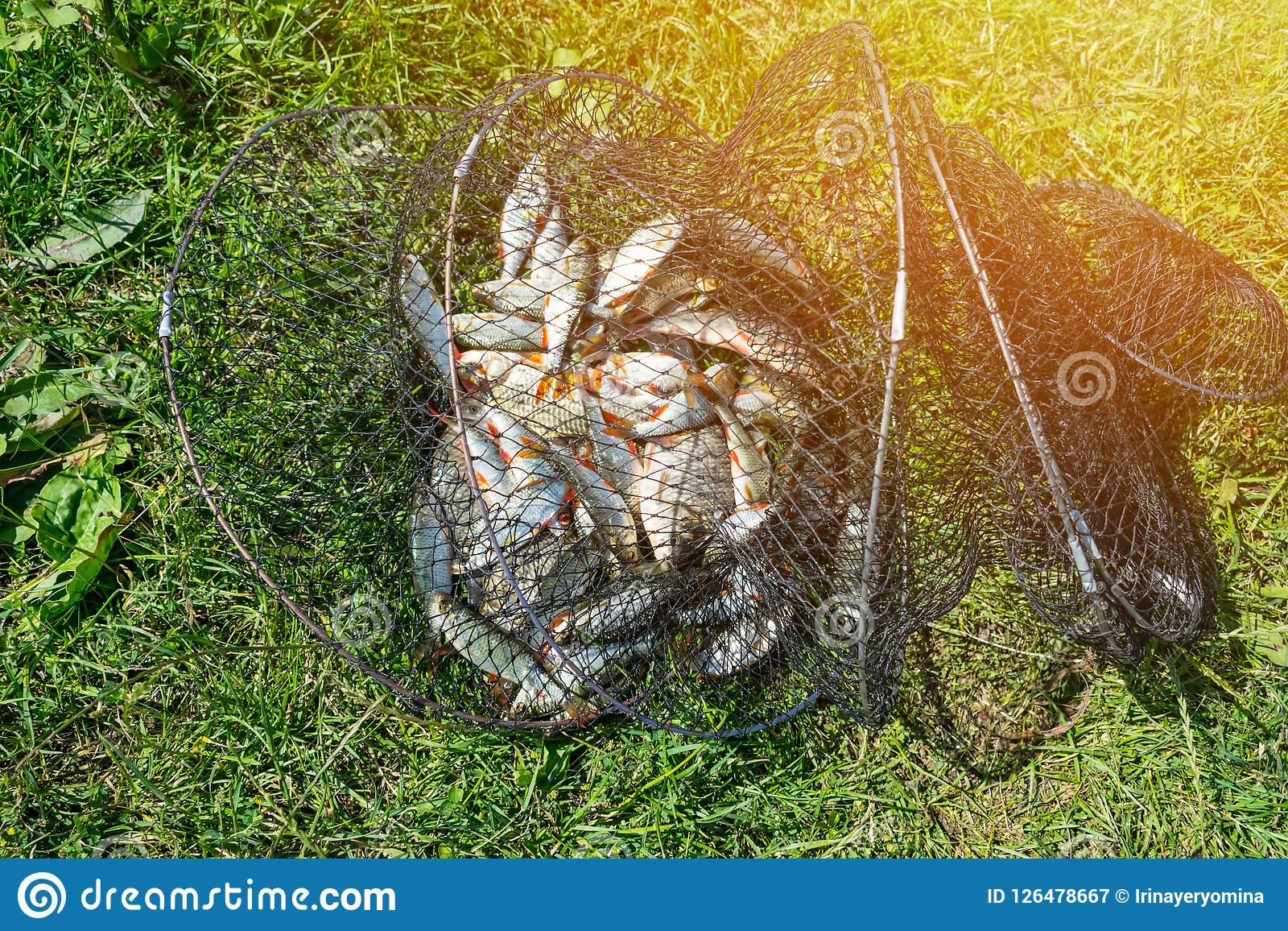 Catch of fish in net basket on green grass by the river. Many roaches on fishing net. Fishing concept, good catch. Fresh fish