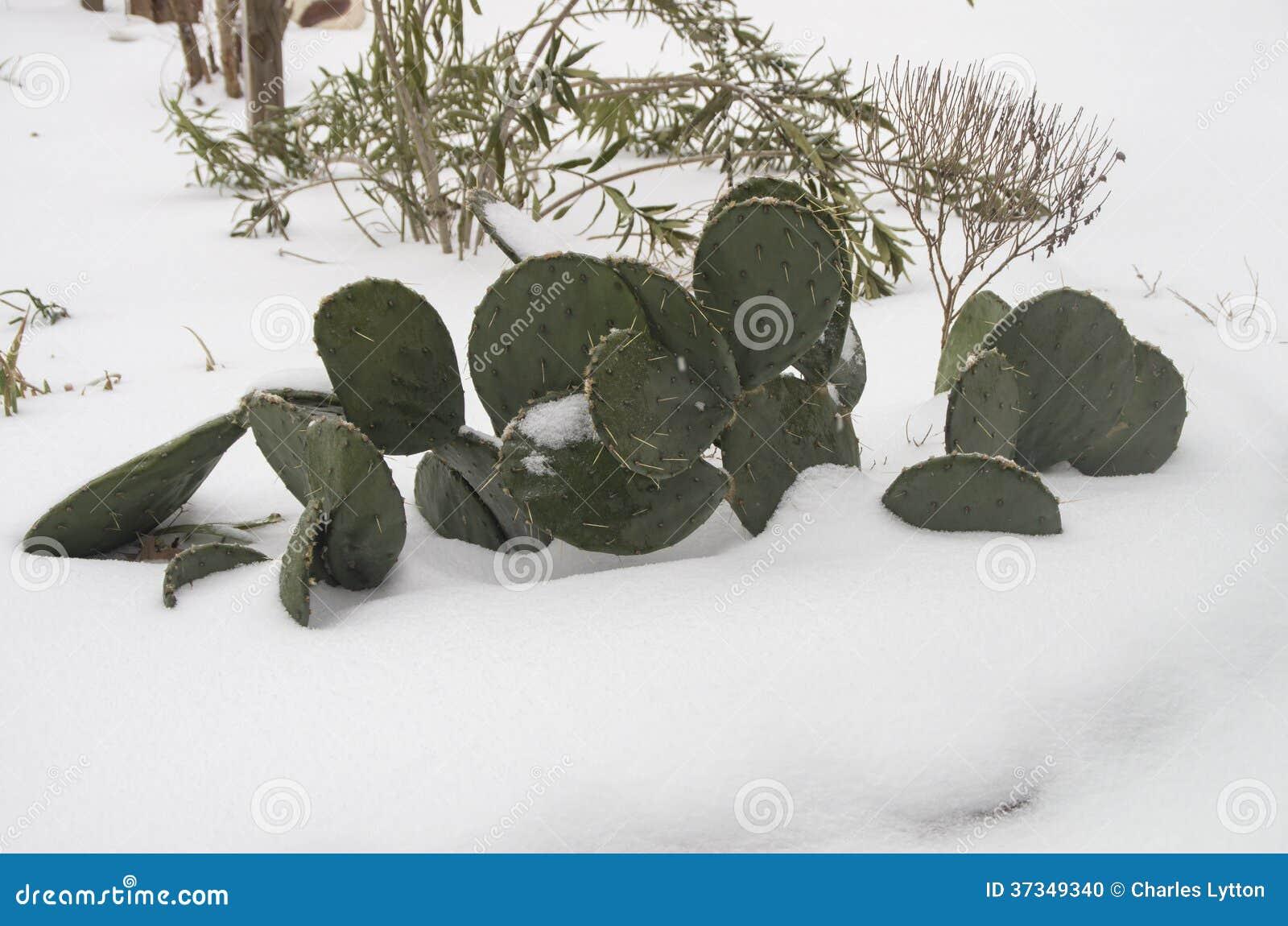 Catcus i snön