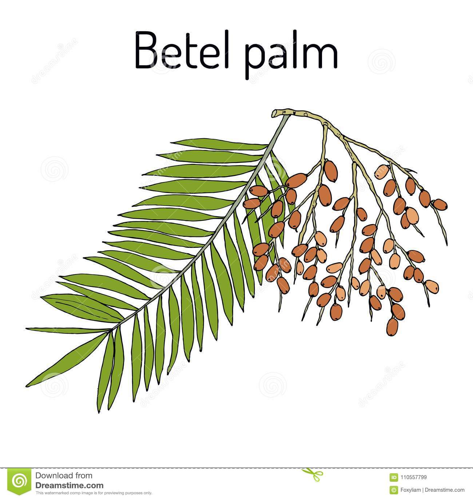 Catechu de la areca de la palma de betel, o nuez india, planta medicinal