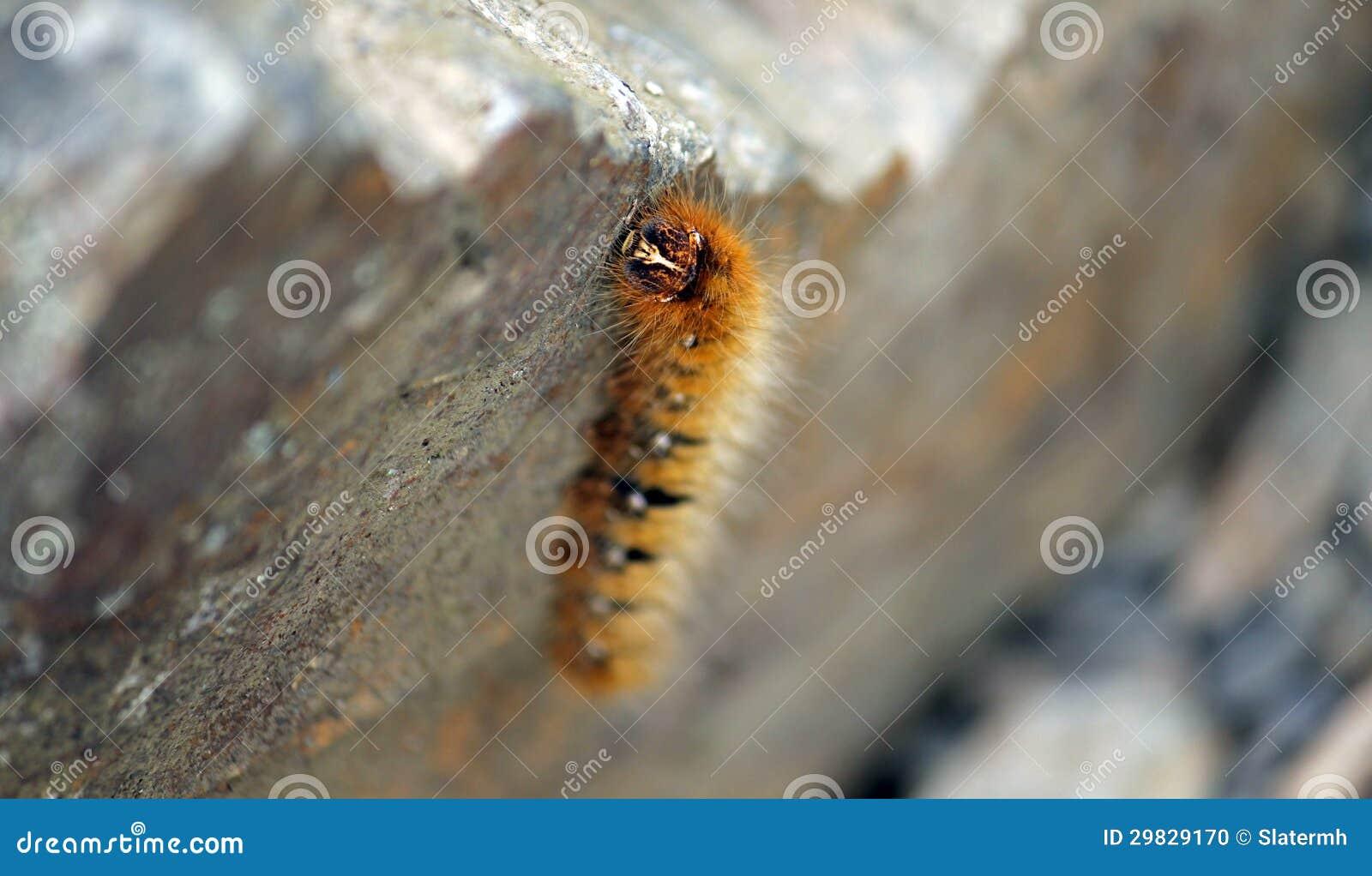 Caterpillar alaranjado peludo