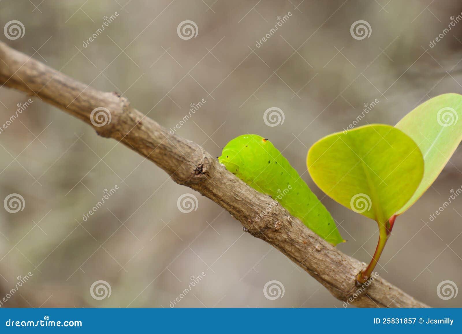 Caterpillar av en jätte- silk mal (Polyphemus)