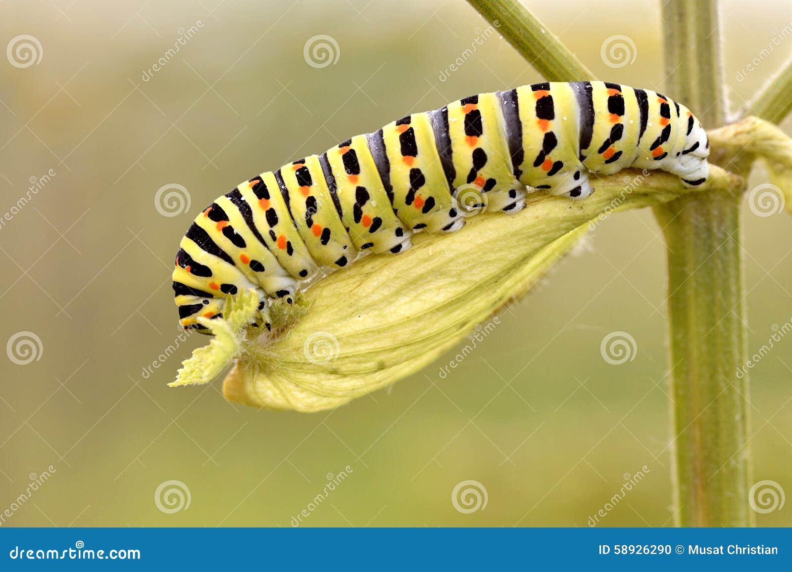 Caterpillar av swallowtail