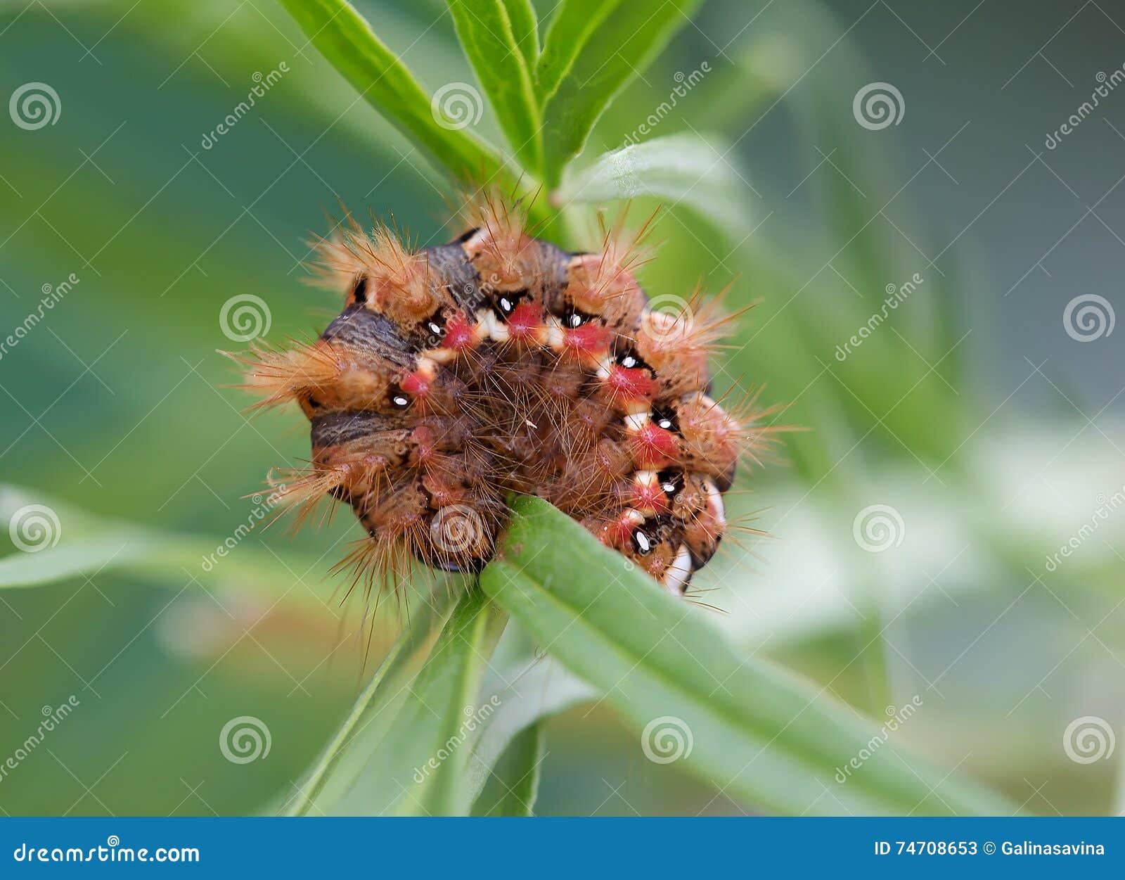 Caterpillar Avec Les Poils Rouges Et Les Taches Rouges Et Blanches Image stock - Image du ...