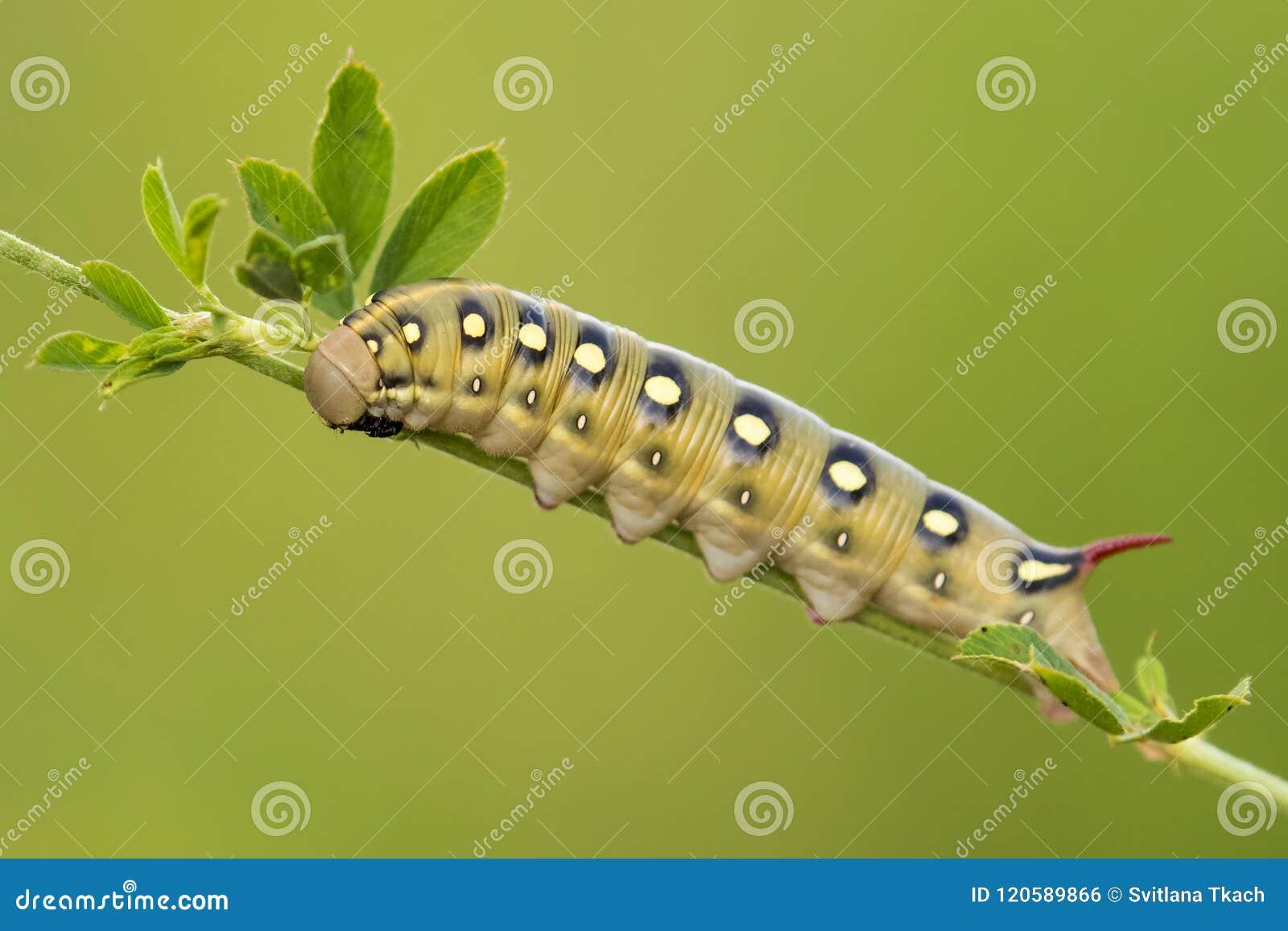 Caterpillar Bedstraw ćma Hyles gallii od Ukraina