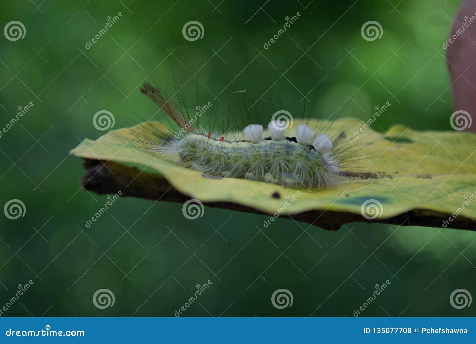 Caterpillar, Biały Oceniony Tussock ćma na liściu