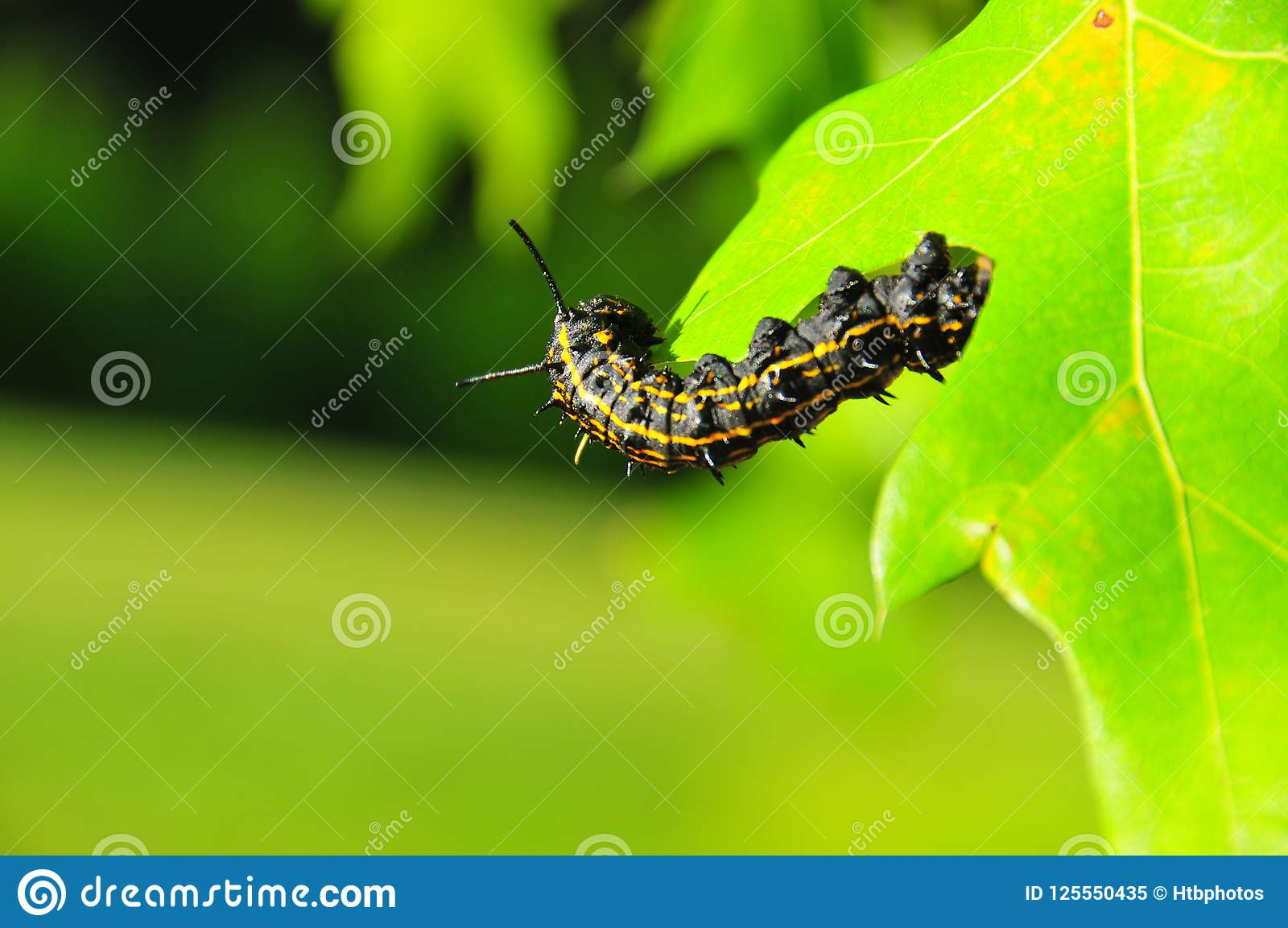 Caterpillar Black With Yellow Stripes Anisota Peigleri Stock Image Image Of Explorer Background 125550435