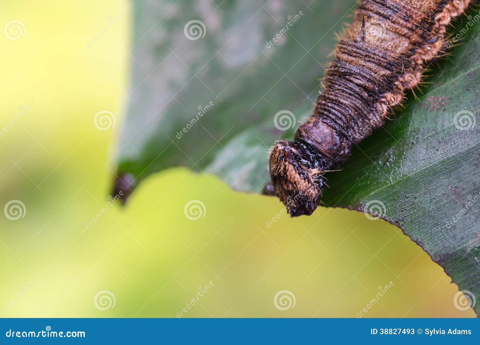 Caterpillar caligo memnon