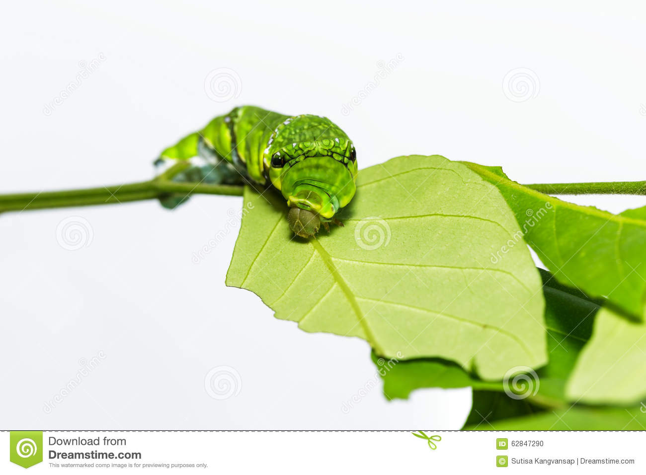 Caterpillar of Common mormon butterfly on leaf