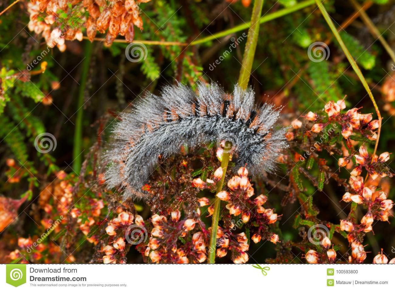 Caterpillar Covered With Dew Stock Photo - Image of ling, great ...