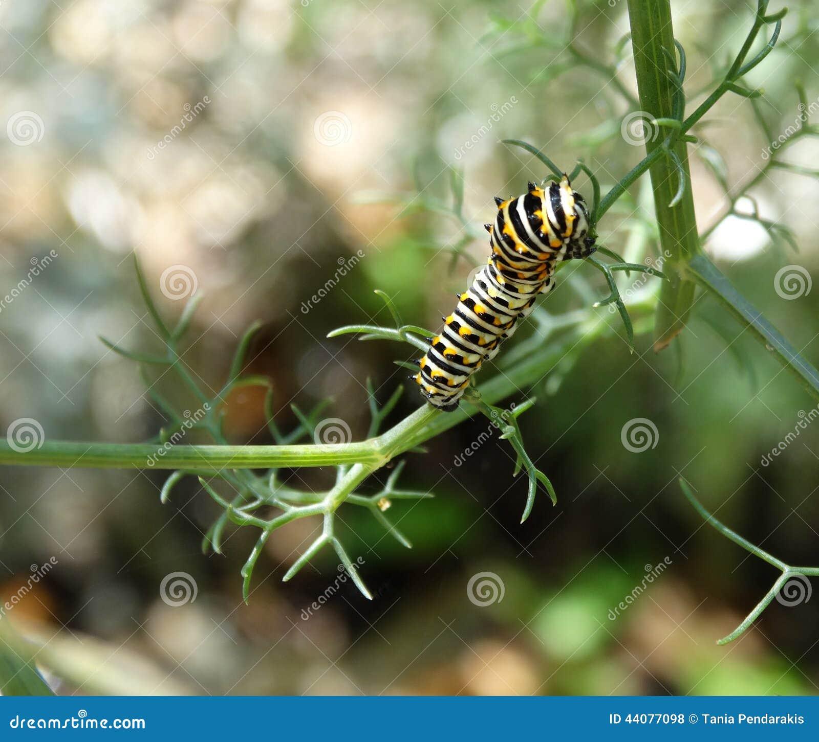 Caterpillar Czarny Swallowtail motyl